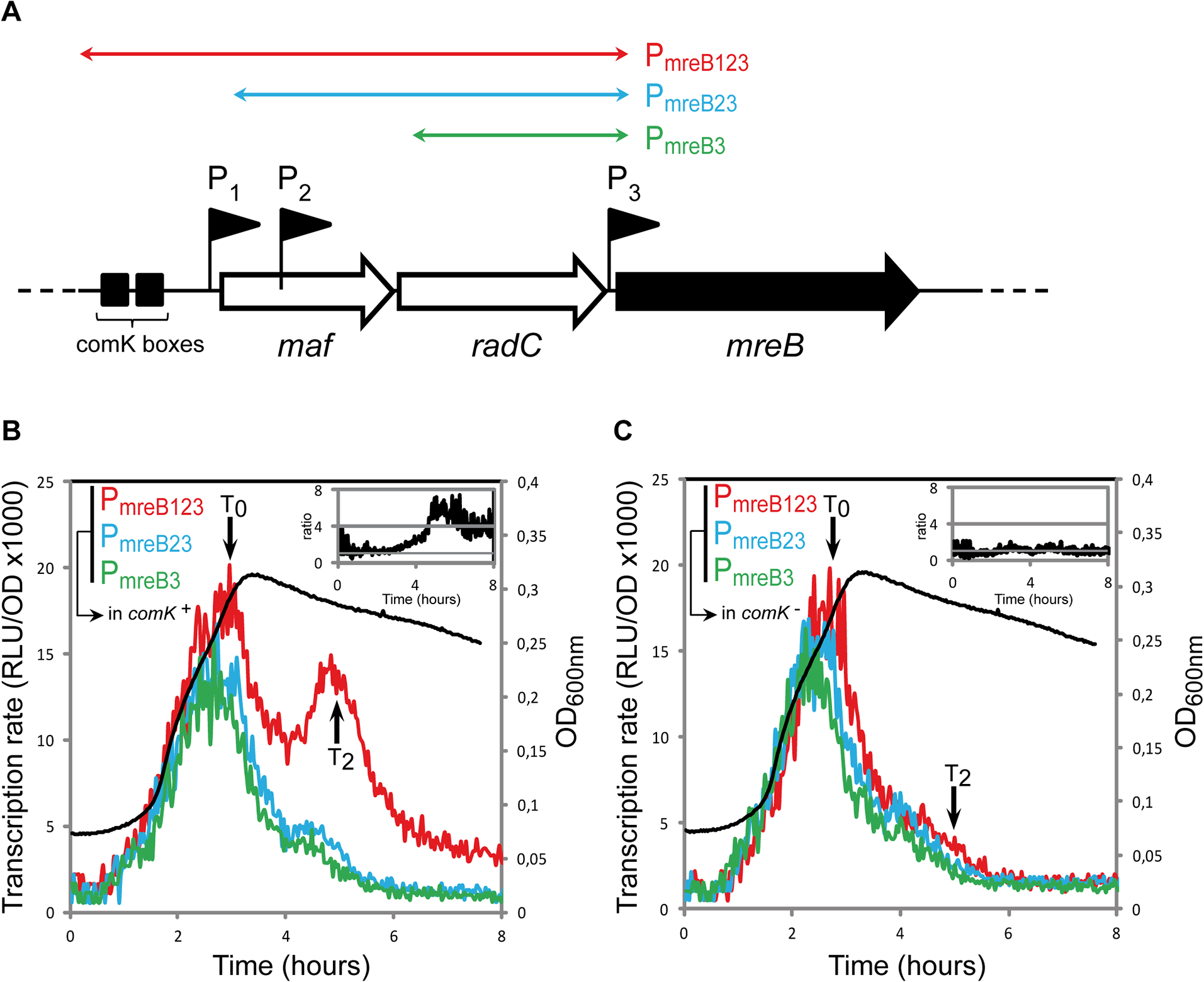 <i>mreB</i> is a competence-regulated gene.