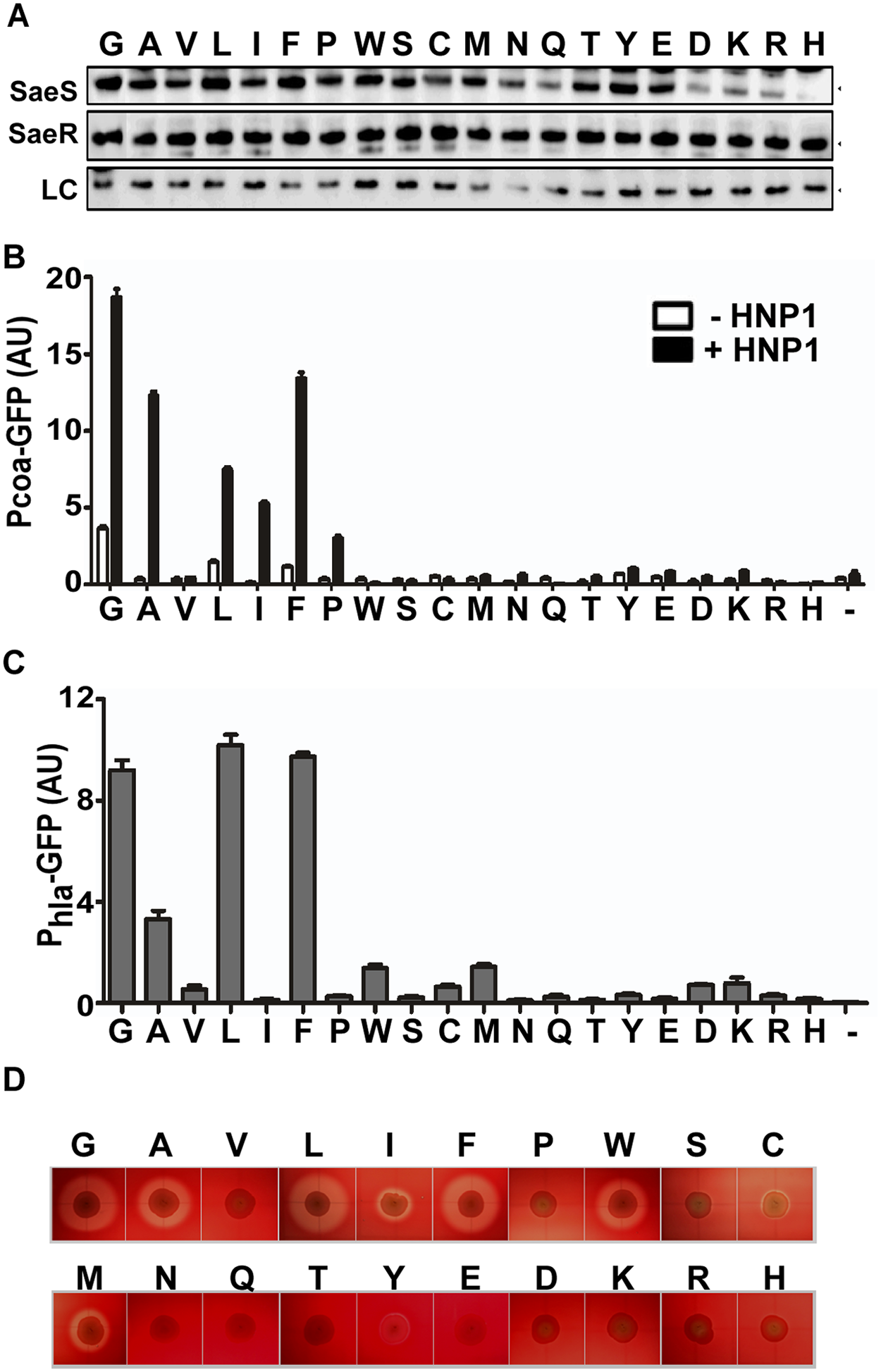 At the position 35, Gly is the optimal amino acid for SaeS switch function.