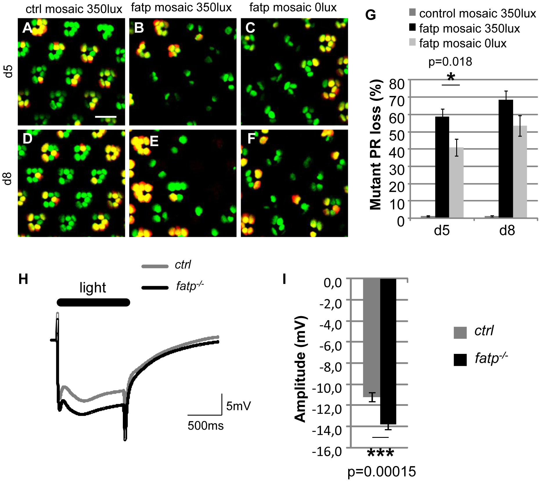 The visual response is altered in <i>fatp</i> mutant PRs.