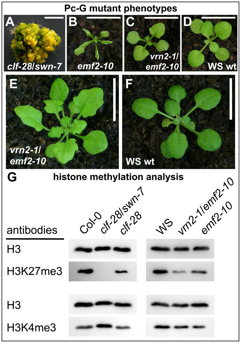 Immunoblot analyses of histone modifications in Pc-G mutants.