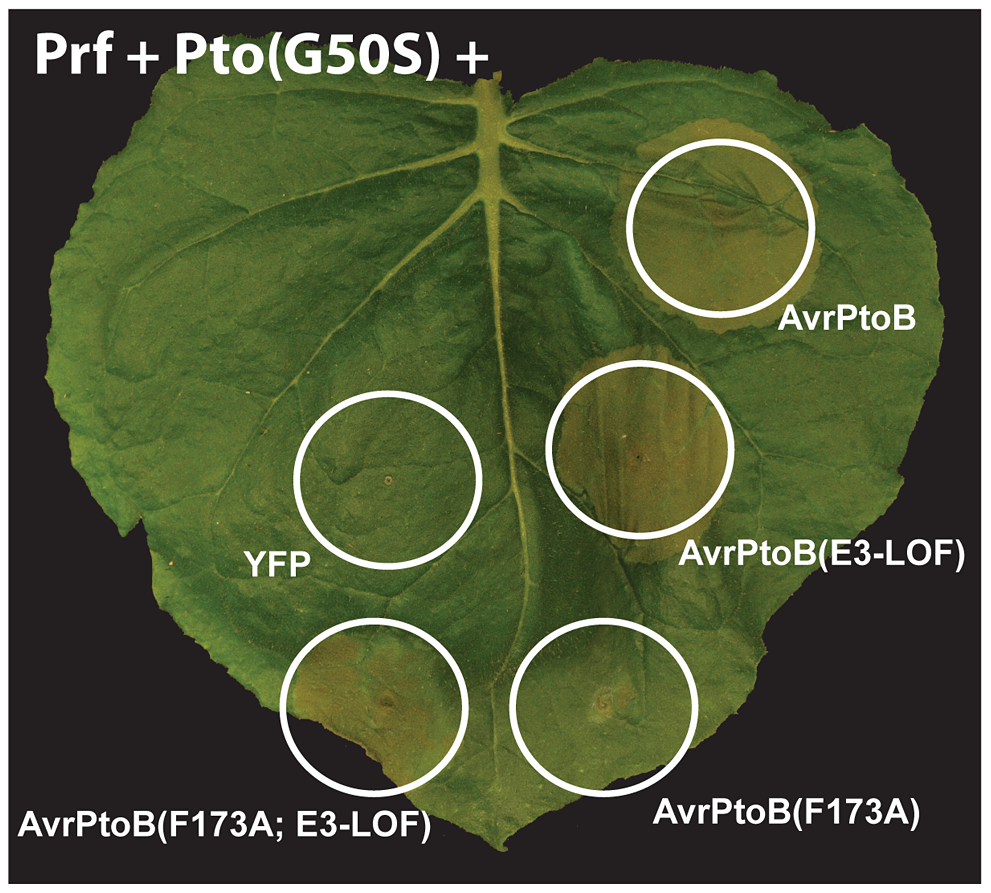 Pto and Fen kinase activities are dispensable for activation of AvrPtoB-elicited ETI.