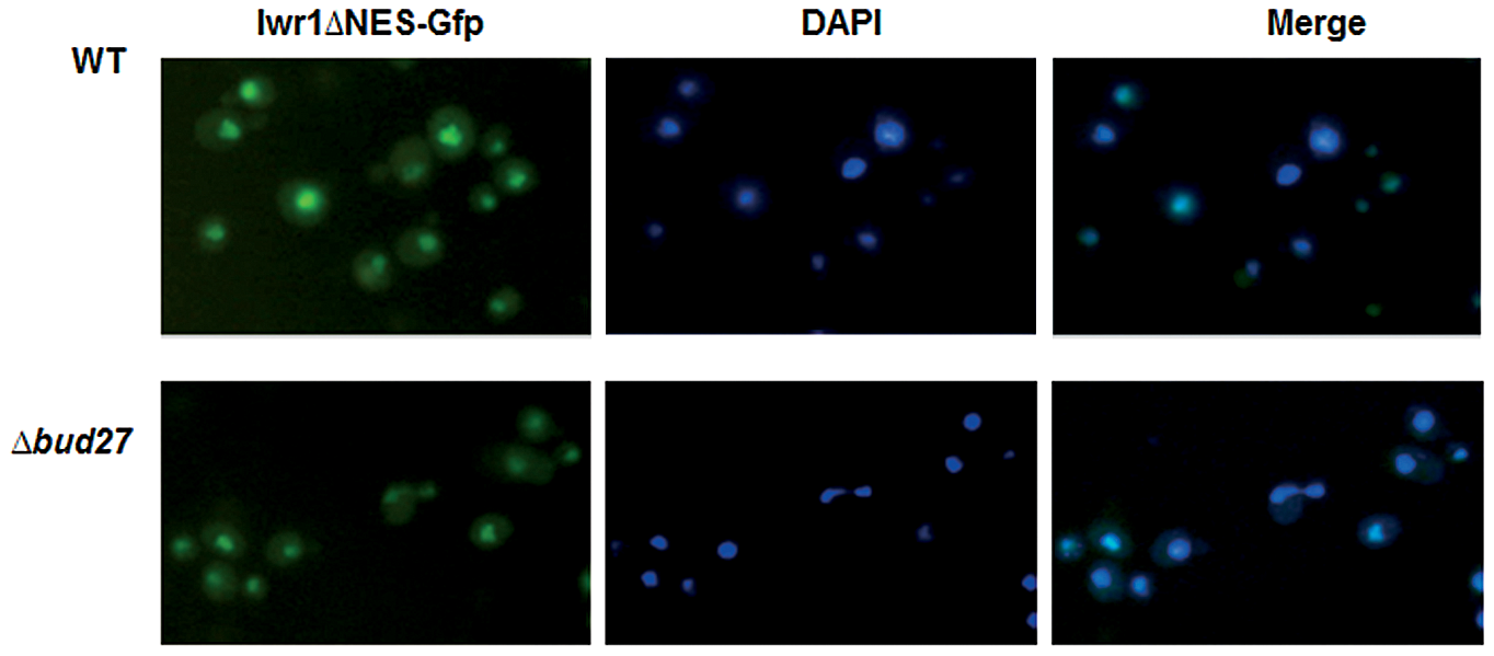 Iwr1 nuclear localization is independent of Bud27.