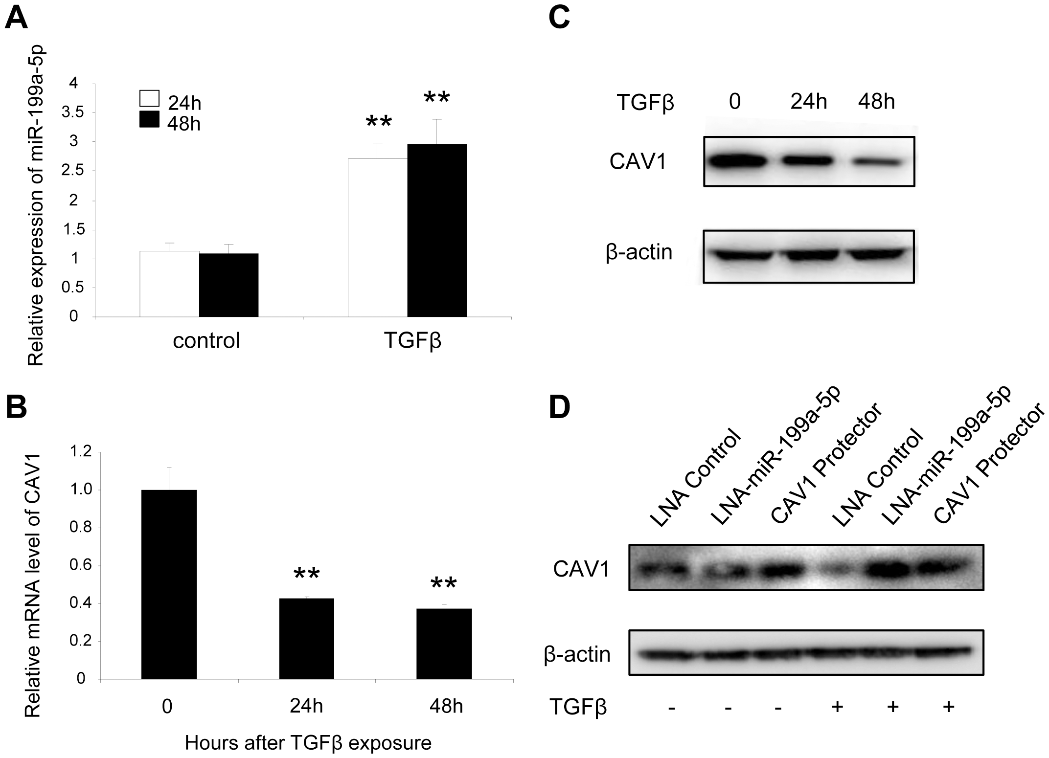 TGFβ regulates CAV1 by increasing miR-199a-5p expression.