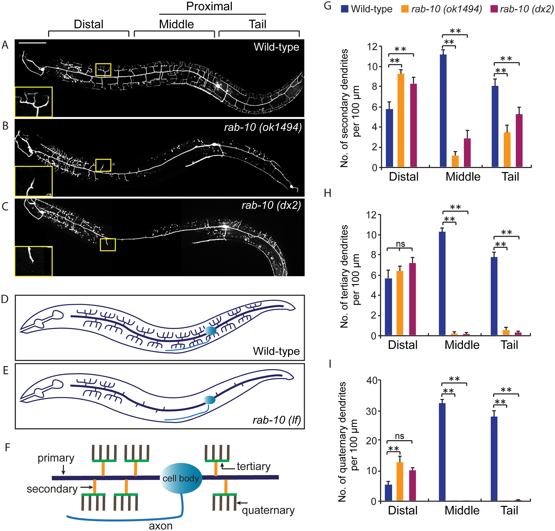 RAB-10 promotes formation of proximal PVD dendritic arbors.