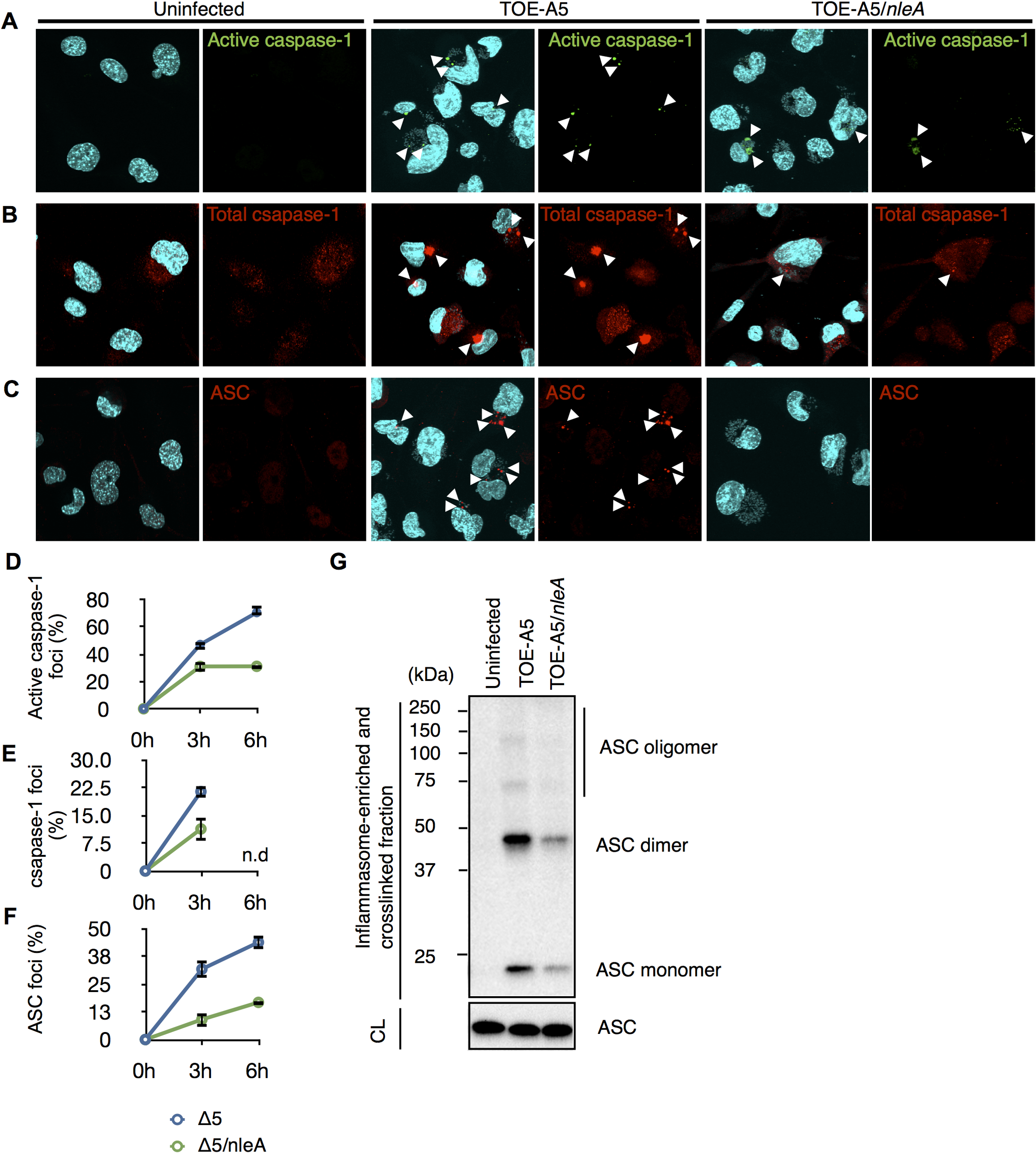 NleA suppresses formation of the inflammasome.
