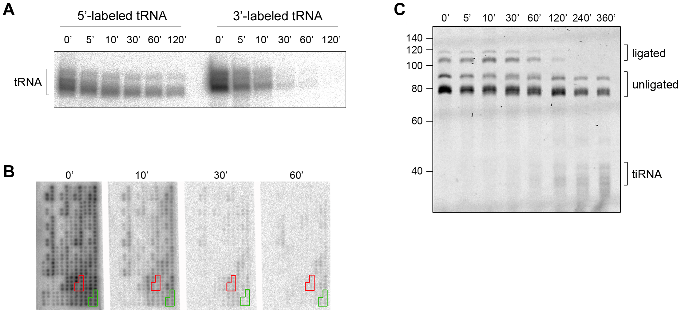 The CCA sequence at the 3′-termini of all tRNAs is first cleaved by angiogenin <i>in vitro</i>.