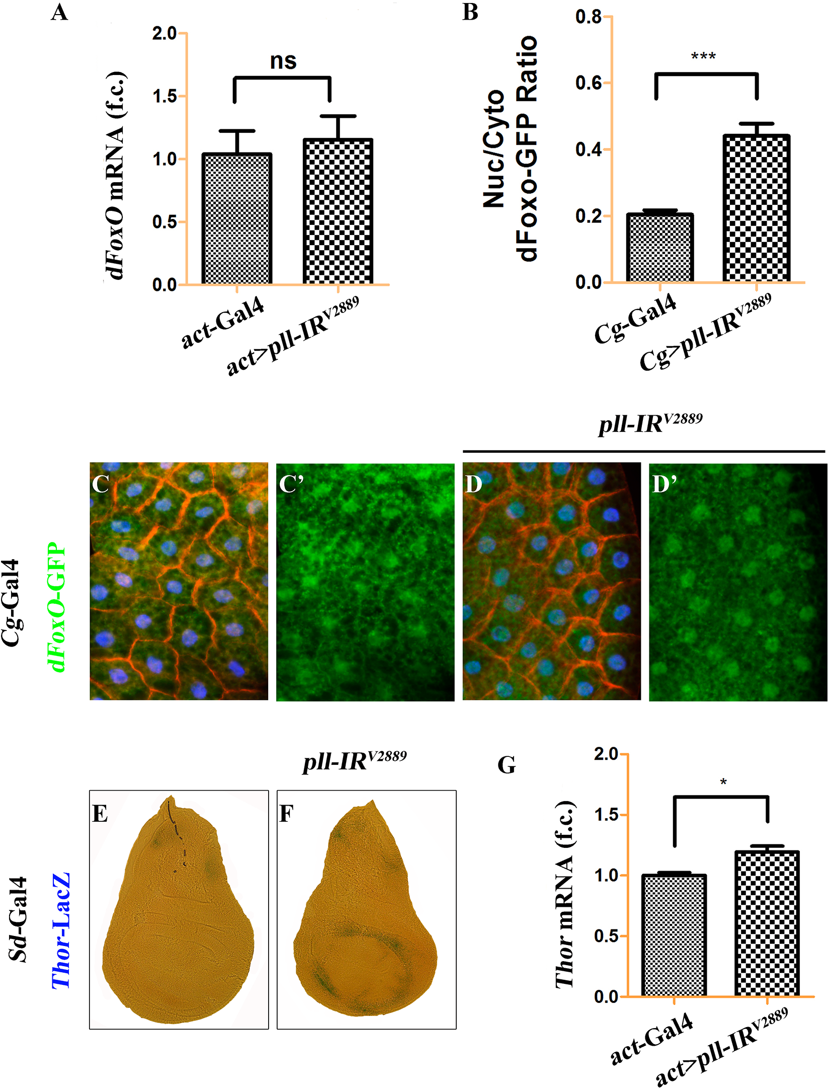 Loss of <i>pll</i> promotes dFoxO nuclear localization and transcriptional activity.