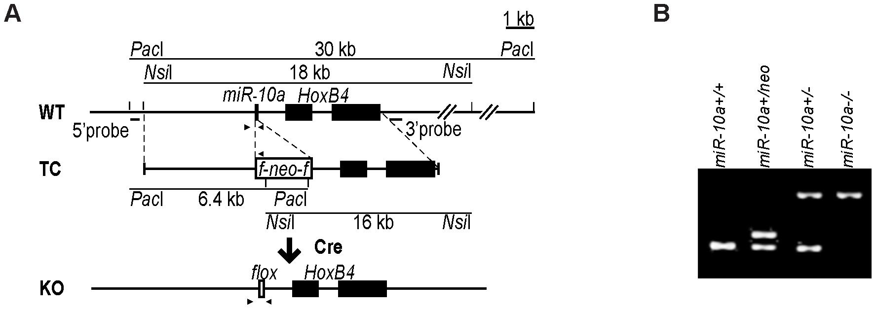 Generation of <i>miR-10a</i> KO mice.