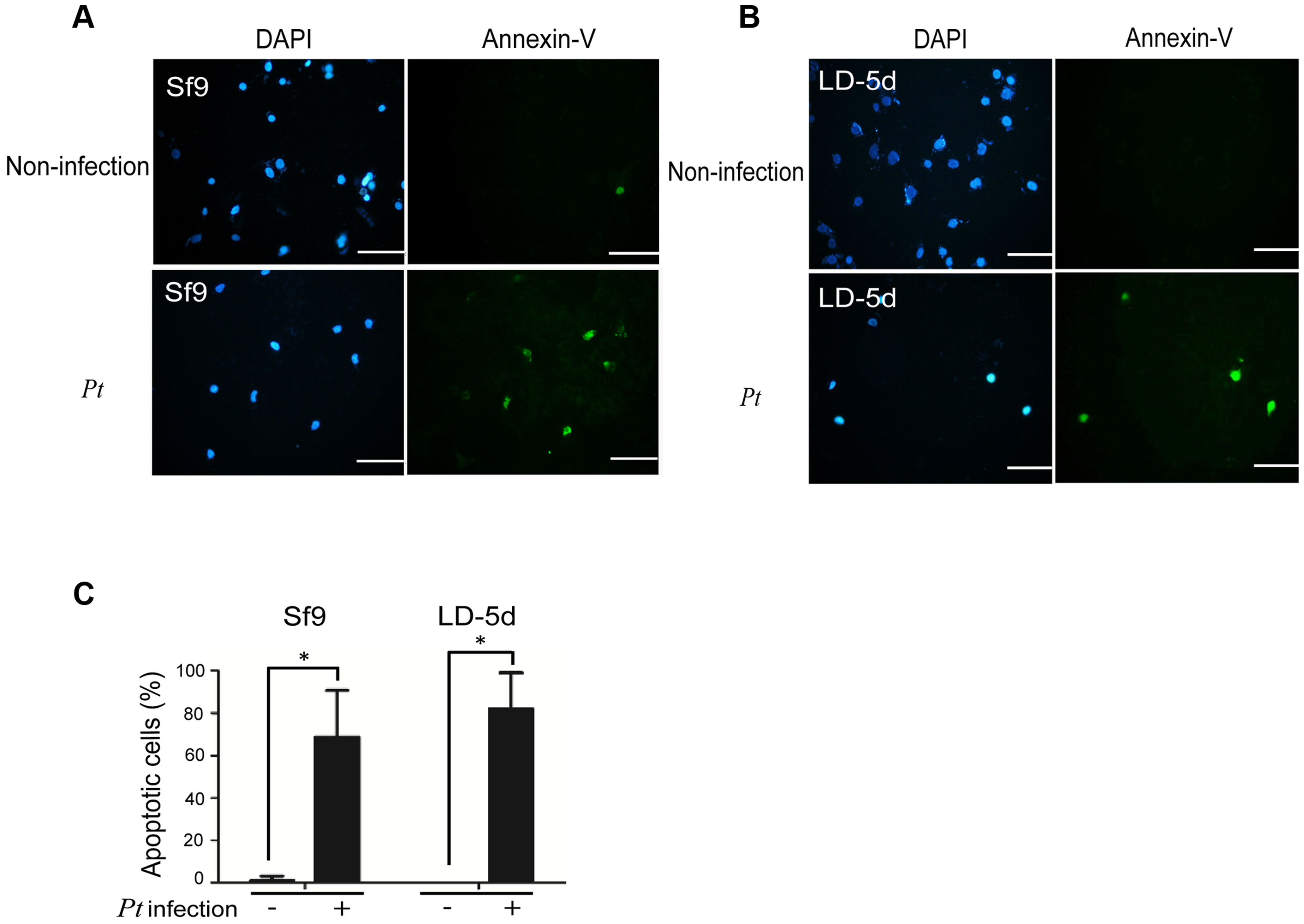 Apoptosis-induced by <i>P. taiwanensis</i> infection in Sf9 and LD-5d cell lines.