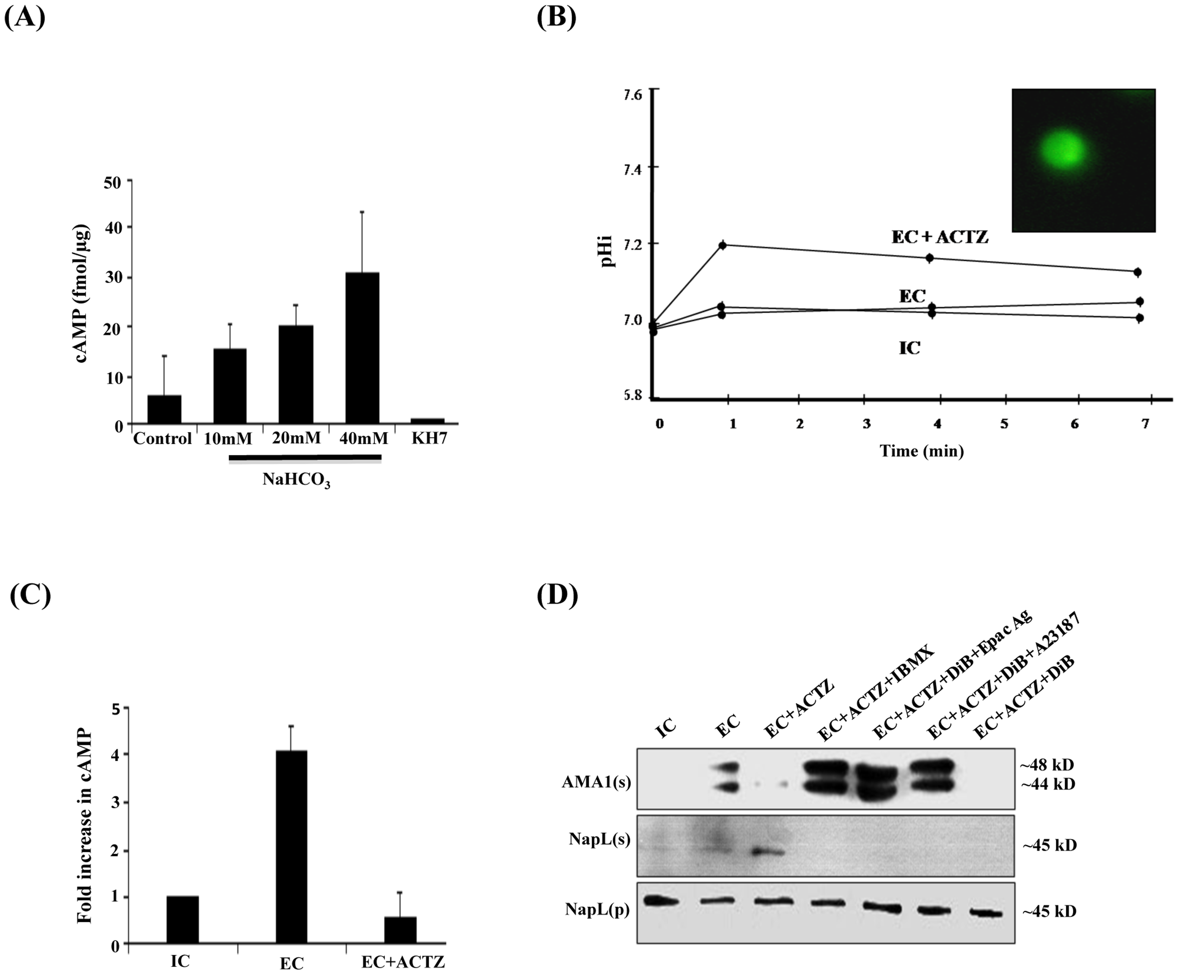 Production of cAMP by HCO<sub>3</sub><sup>−</sup> sensitive PfACβ and regulation of microneme secretion.