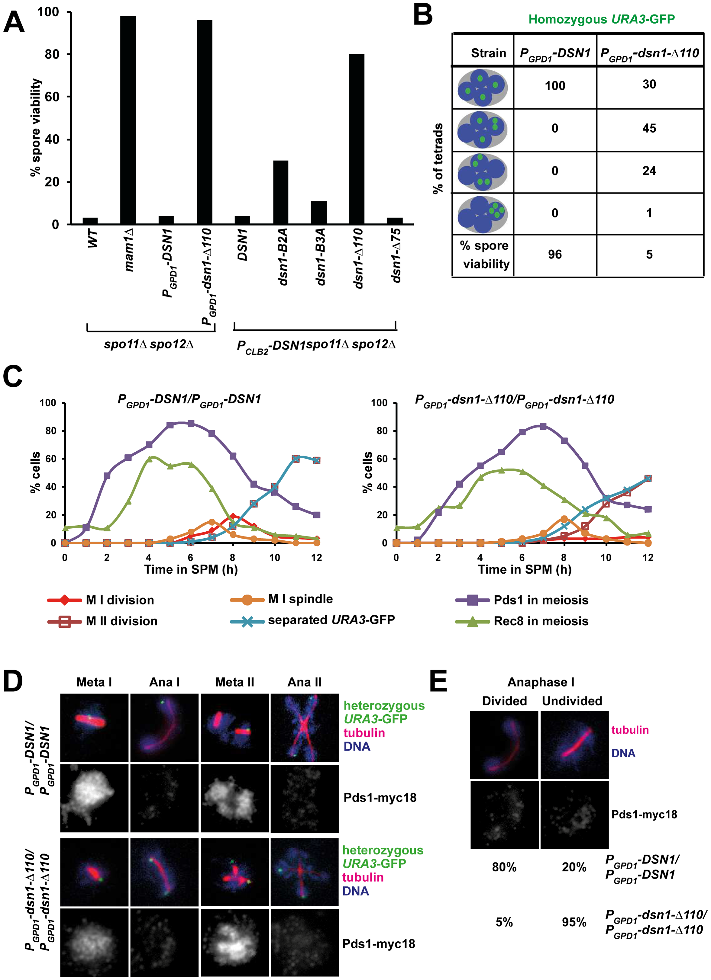 The Csm1-Interaction Domain of Dsn1 is required for the first meiotic nuclear division.