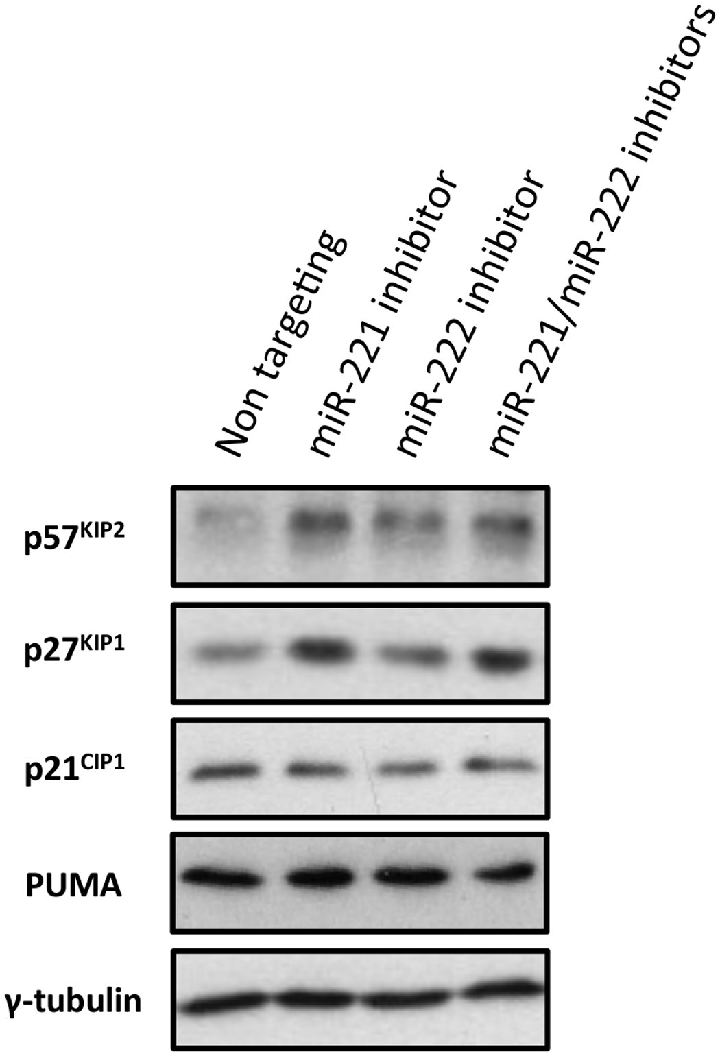 Inactivation of miR-221 and miR-222 in LCLs with corresponding anti-miRs.