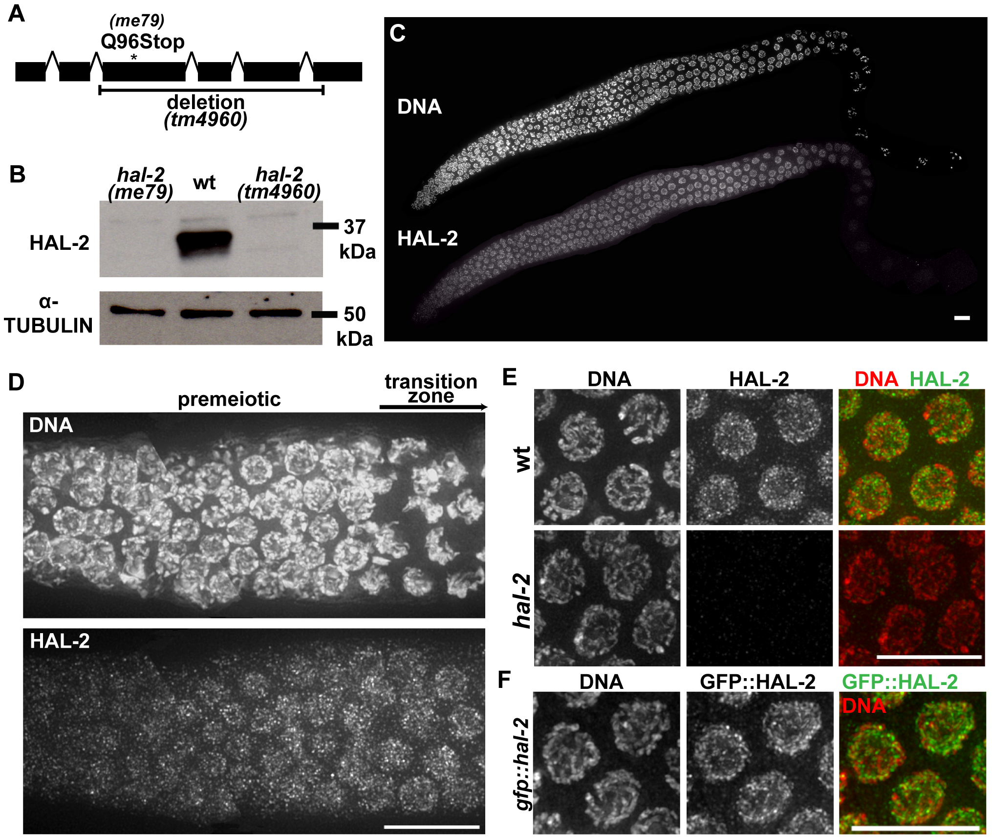 <i>hal-2</i> encodes a protein that concentrates in the nucleoplasm of germ cells.