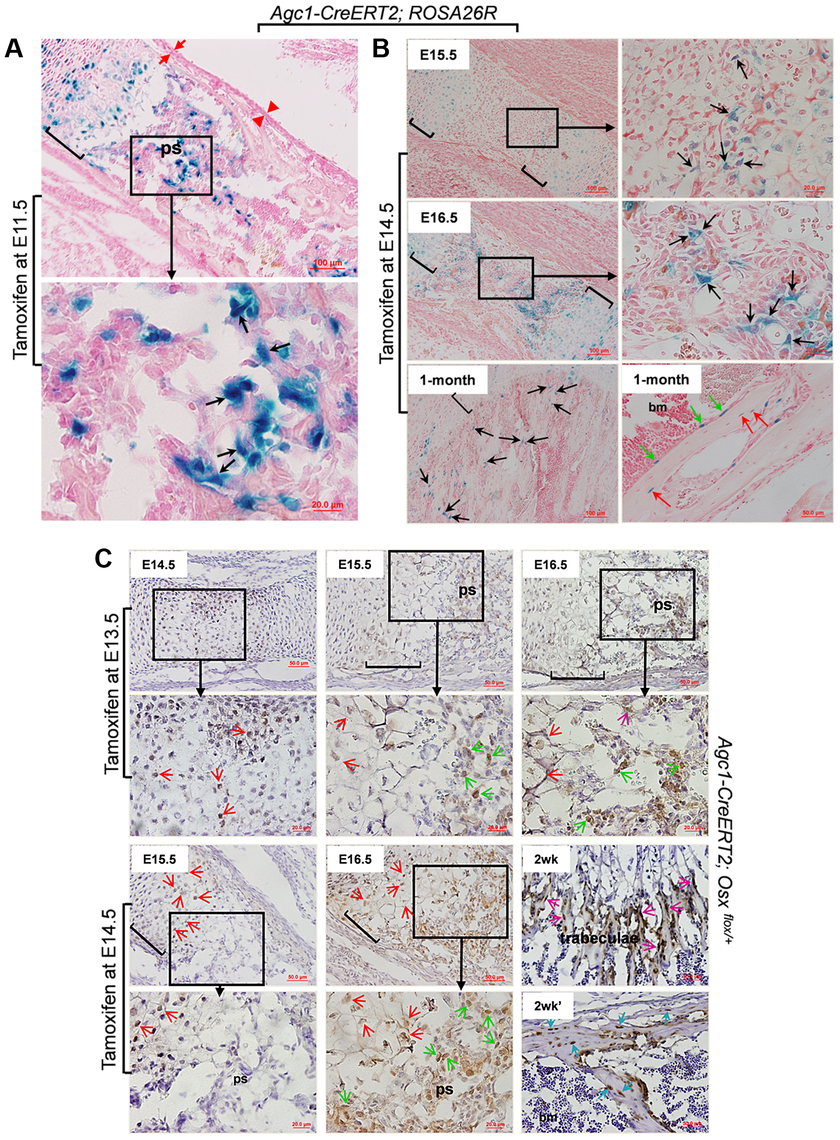 The non-chondrocytic reporter<sup>+</sup> cells in the primary spongiosa of tamoxifen-treated <i>Agc1-CreERT2</i> embryos and mice are derived from mature chondrocytes.