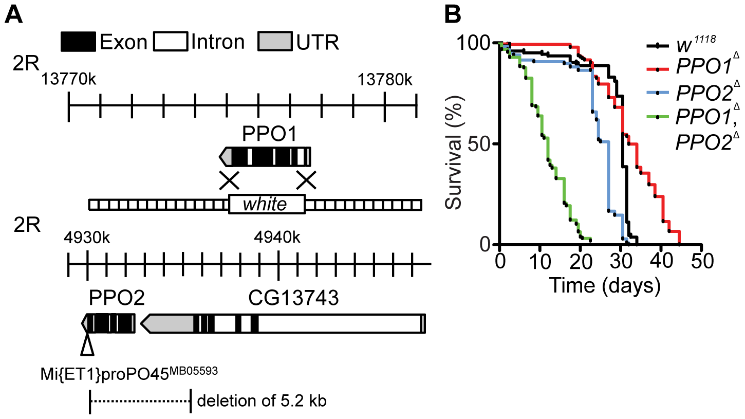 Generation and phenotypic characterization of <i>PPO1</i> and <i>PPO2</i> deletion mutants.