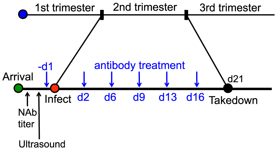 Schematic for the anti-gH/gL prophylactic protection study.