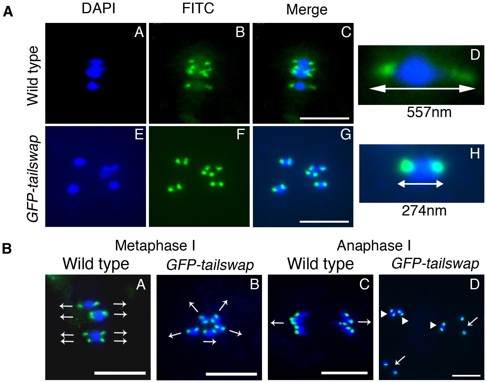 Reduced inter-kinetochore distance and meiotic spindle defects suggest lack of kinetochore function in <i>GFP-tailswap</i>.