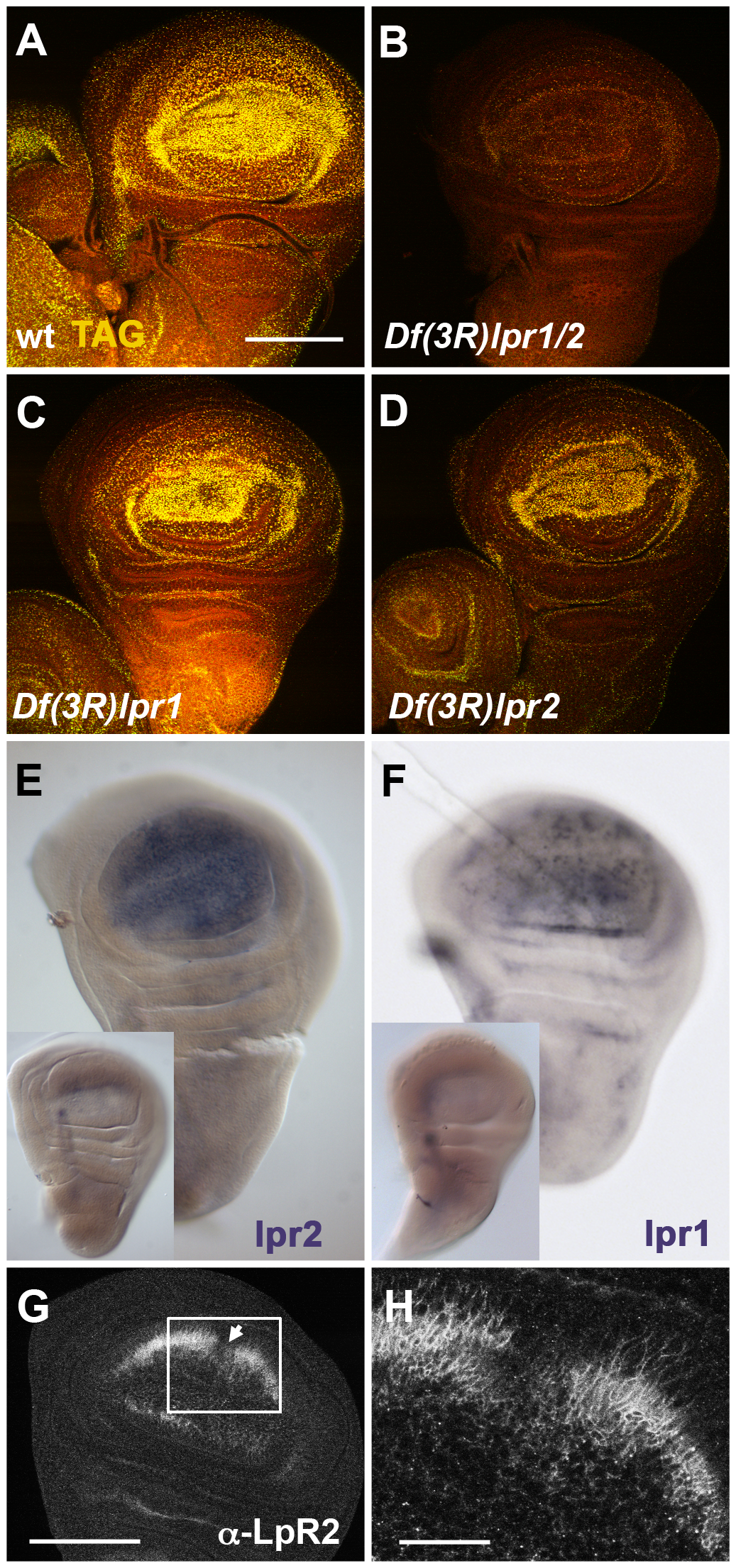 <i>lpr1</i> and <i>lpr2</i> are required for the uptake of neutral lipids by wing imaginal disc cells.