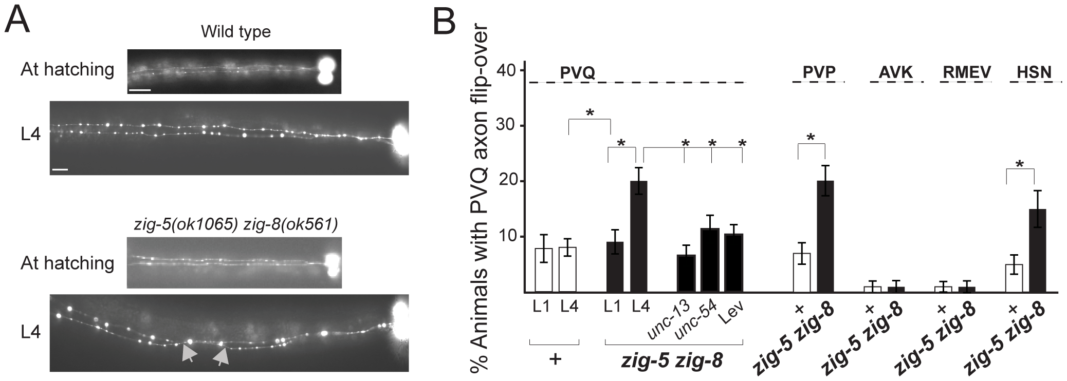 <i>zig-5</i> and <i>zig-8</i> affect axon positioning in the ventral nerve cord.