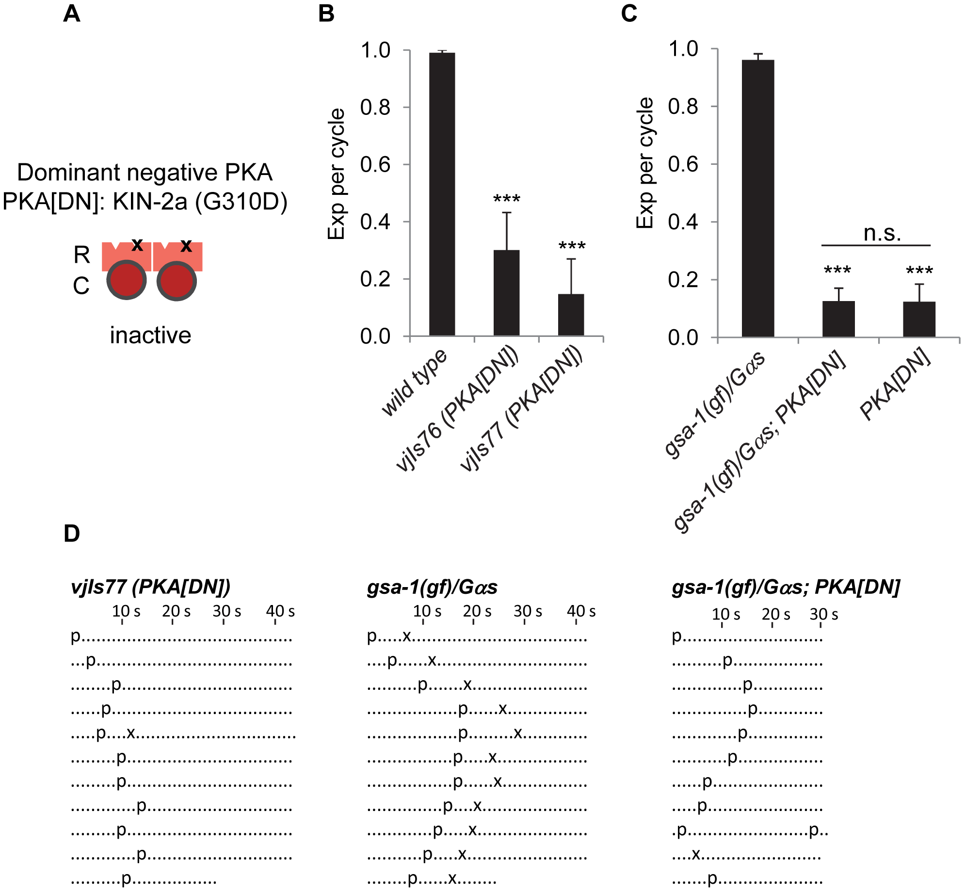PKA functions in GABAergic neurons to regulate the Exp step.