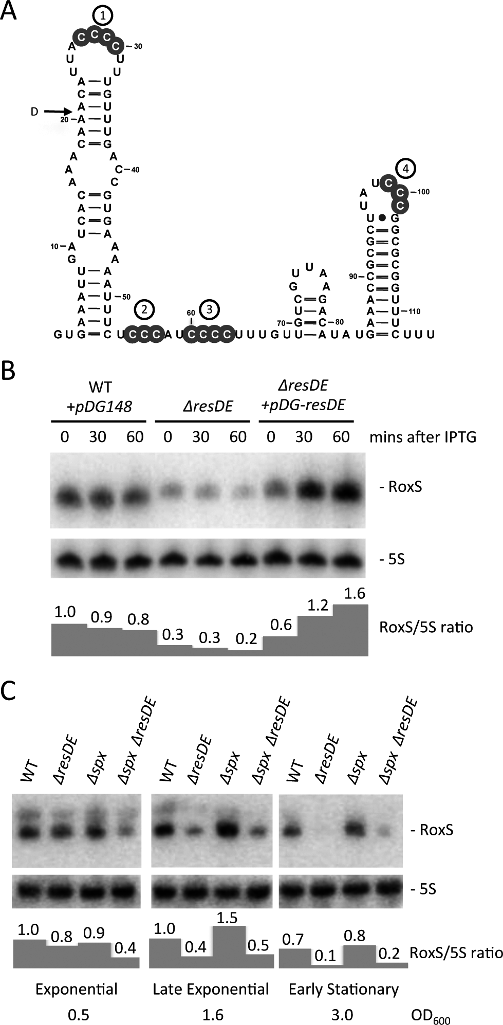Regulation of RoxS expression by the ResDE two-component system.