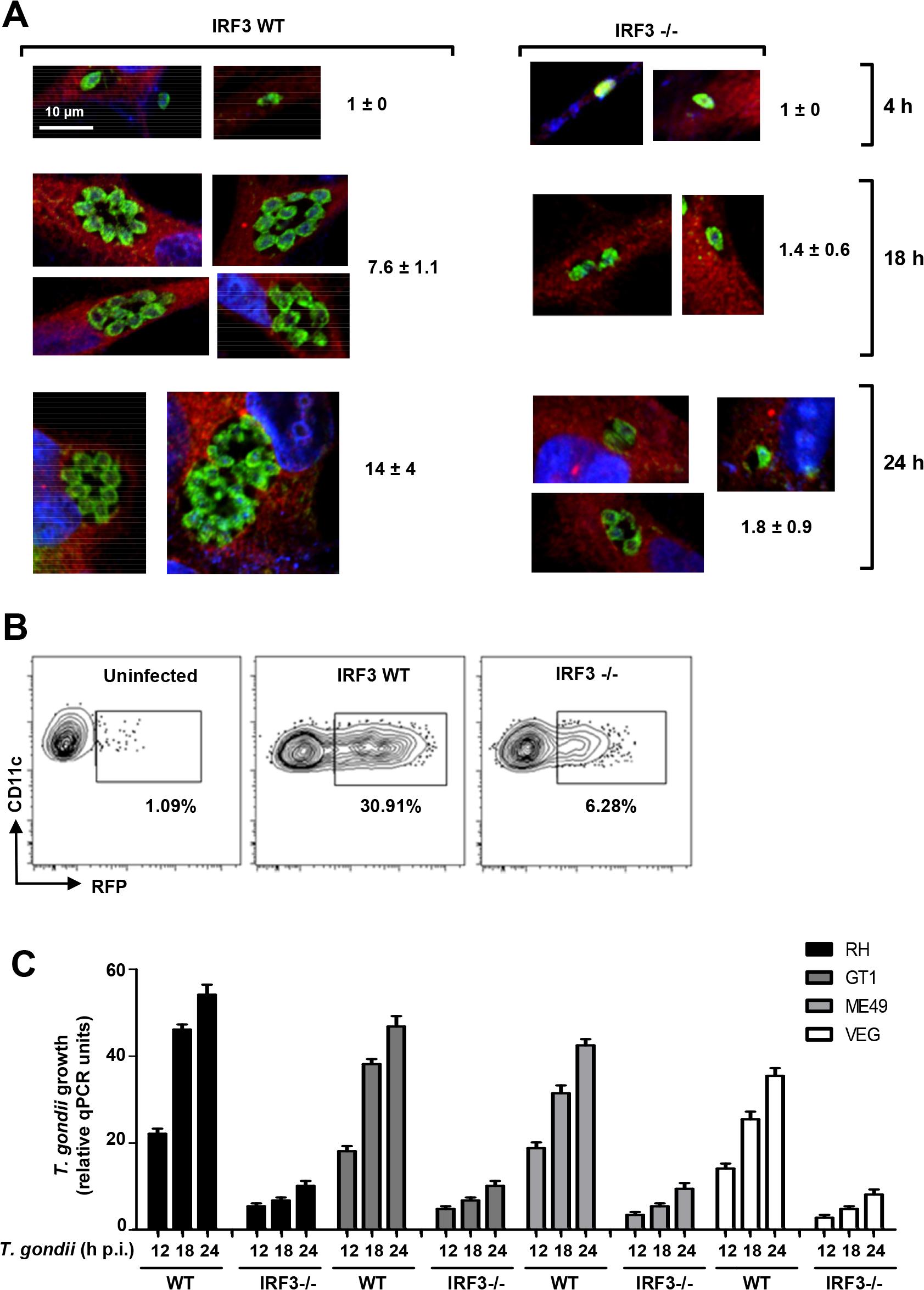 IRF3 facilitates intracellular <i>T</i>. <i>gondii</i> replication regardless of parasite virulence type.