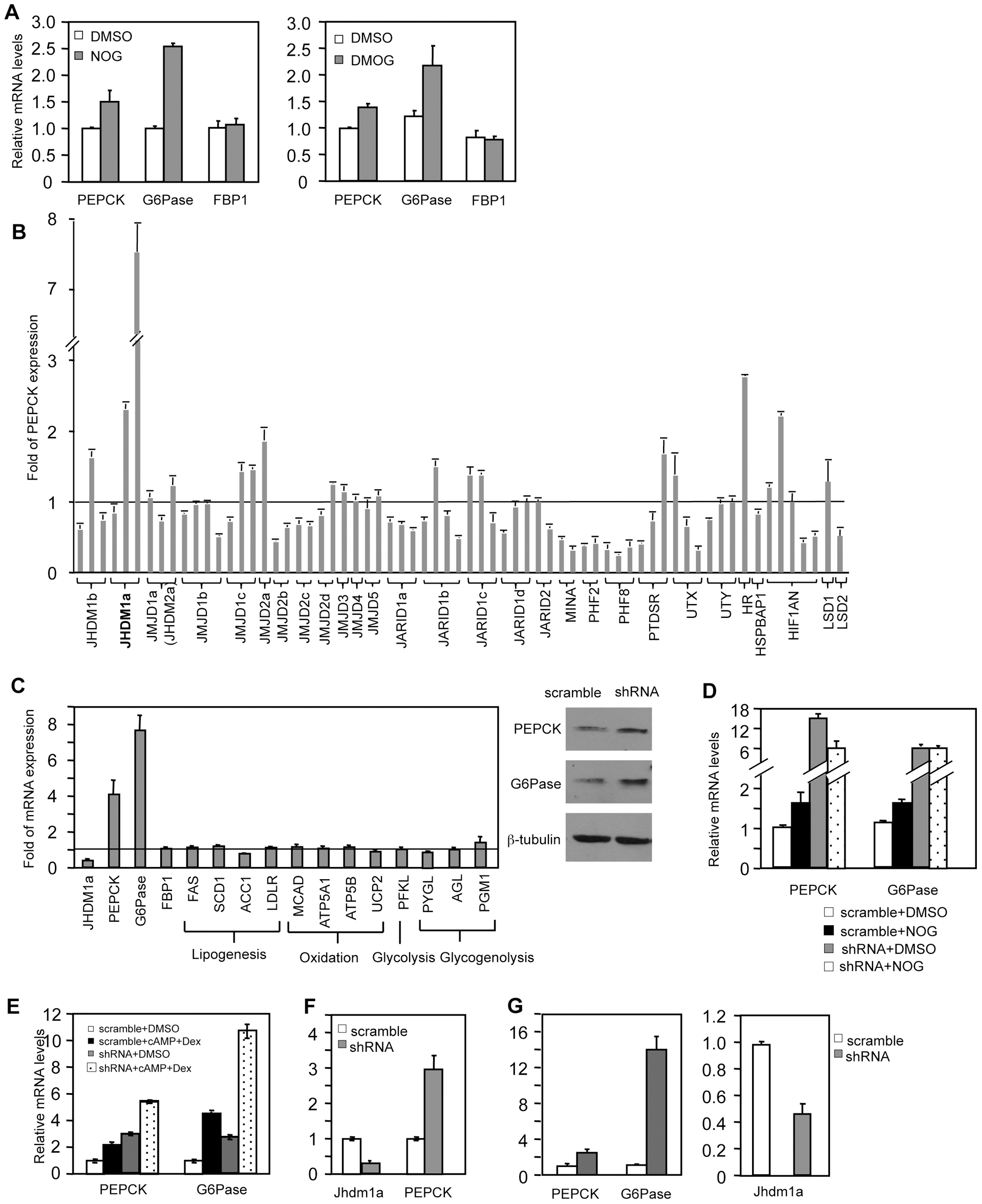 Knockdown of Jhdm1a specifically upregulates PEPCK and G6Pase expression in cultured hepatic cells.