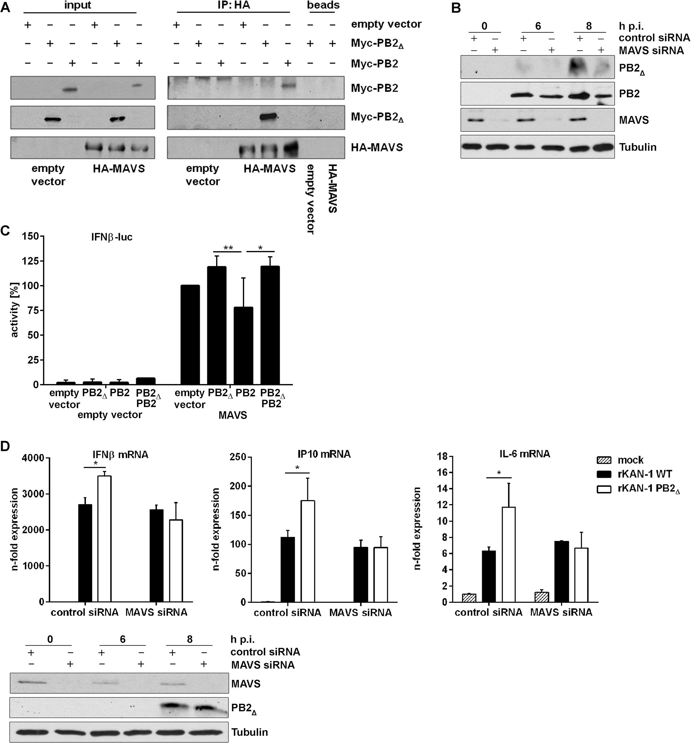 PB2<sub>∆</sub> interacts with MAVS at mitochondria thereby inducing IFNβ expression.