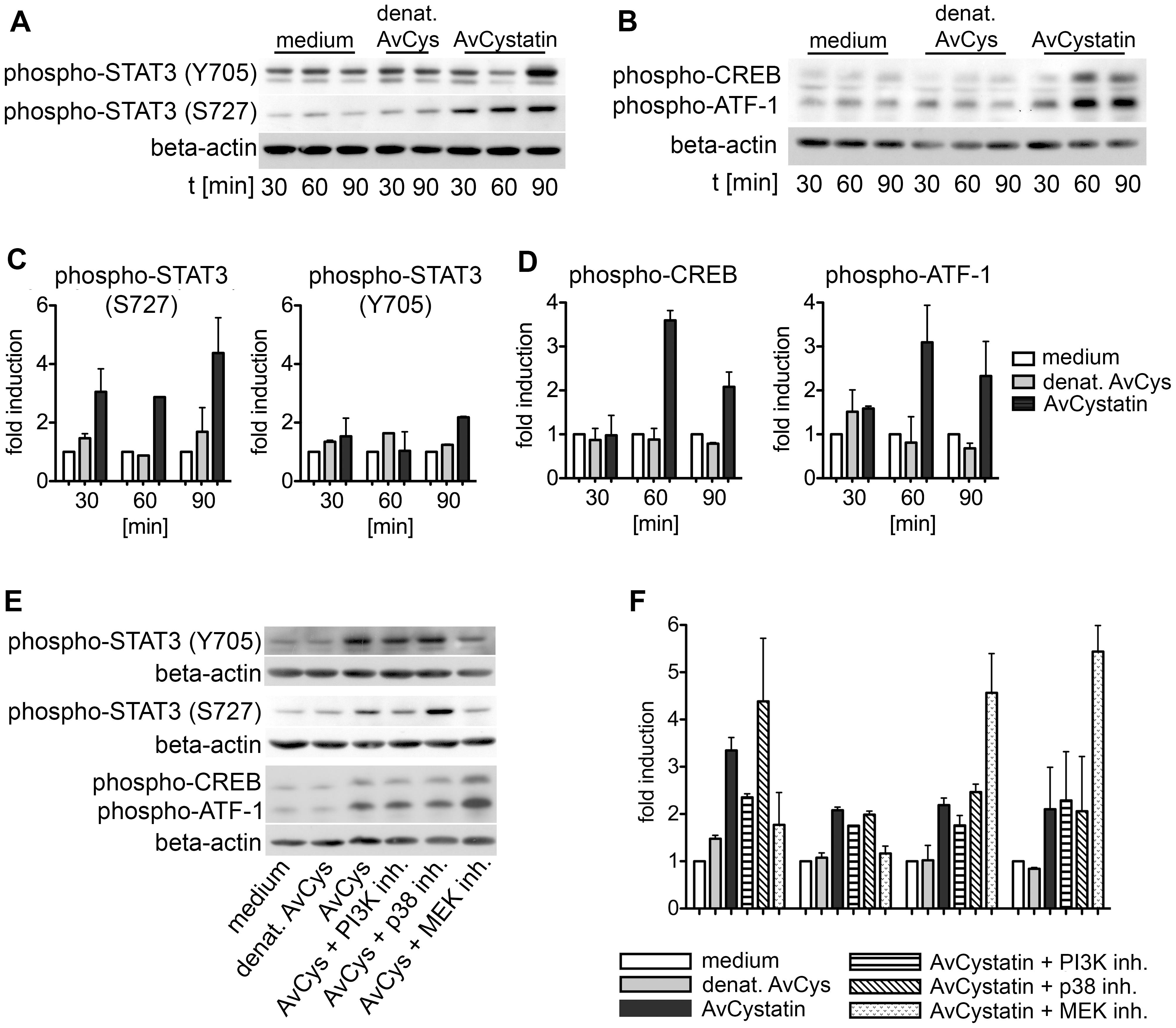 AvCystatin induces phosphorylation of transcription factors CREB and STAT3.