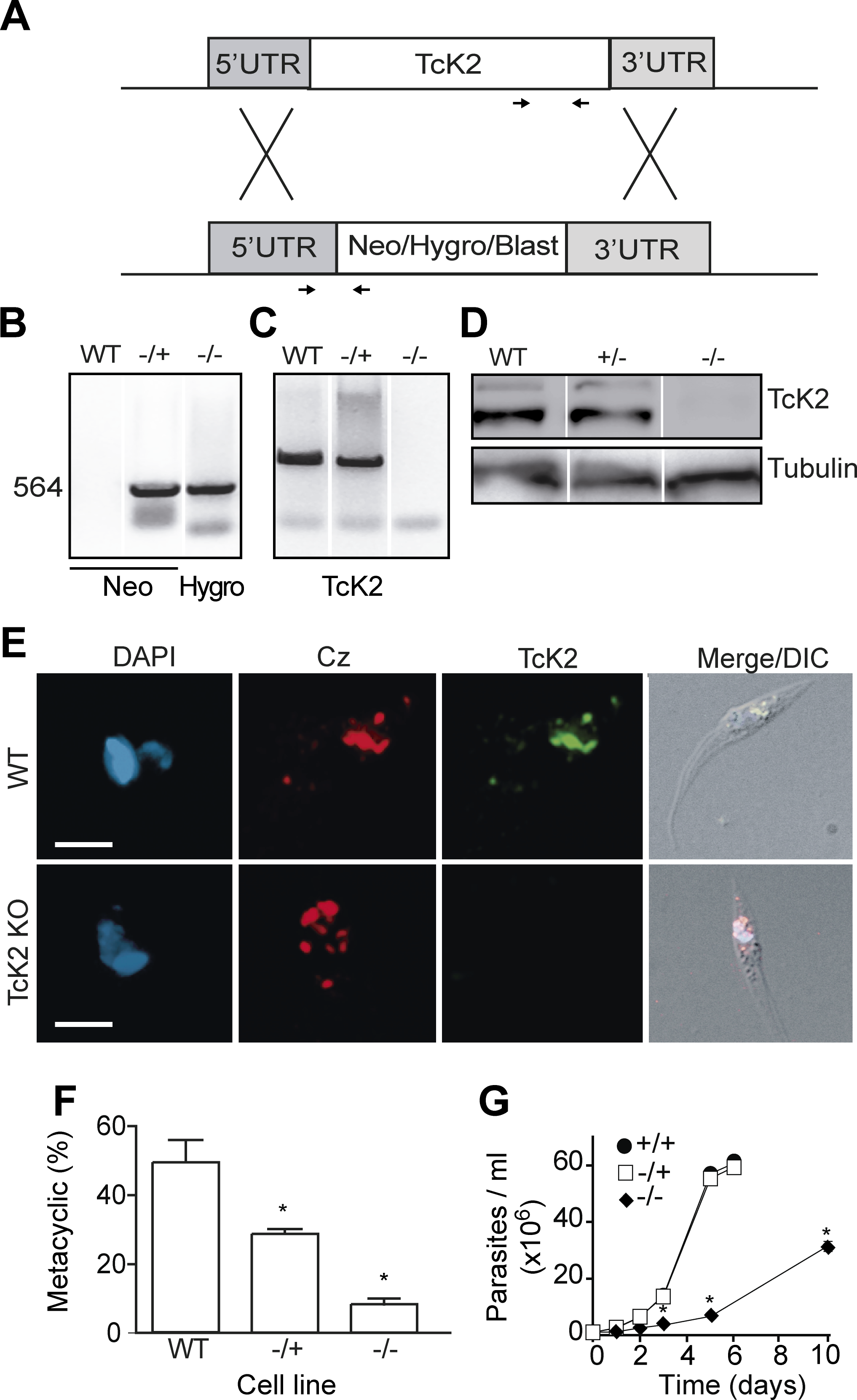 TcK2-KO cells are impaired in cellular differentiation and display reduced growth.