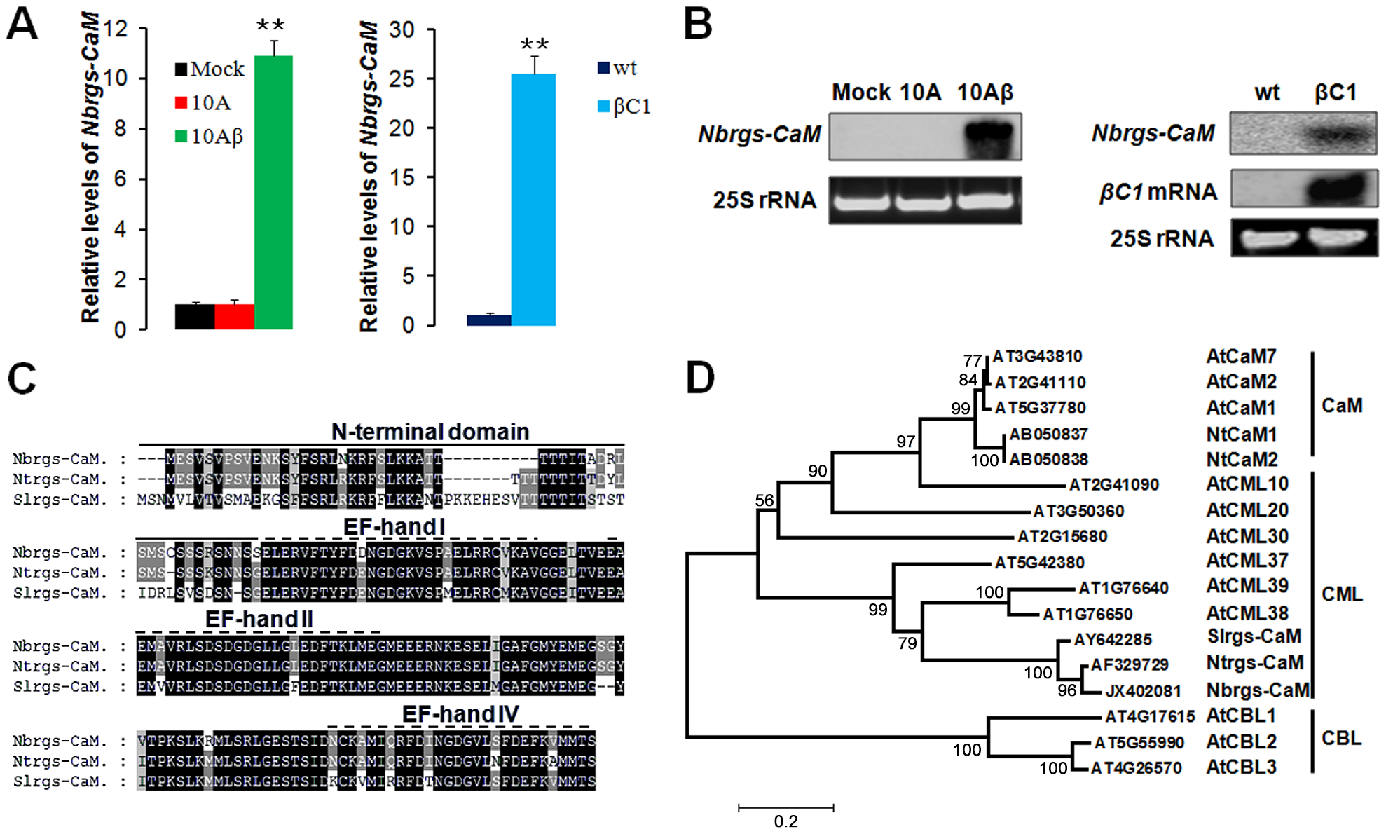 Induction of <i>Nicotiana benthamiana</i> calmodulin-like protein Nbrgs-CaM by TYLCCNB βC1.