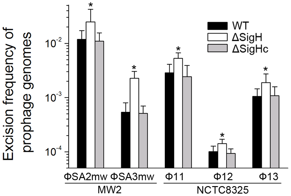 <i>SigH</i> plays a regulatory role on prophage excision and integration via integrase.