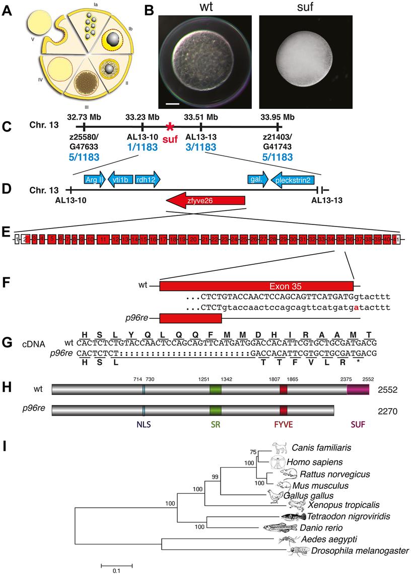 Molecular identification of the <i>suf</i> locus.