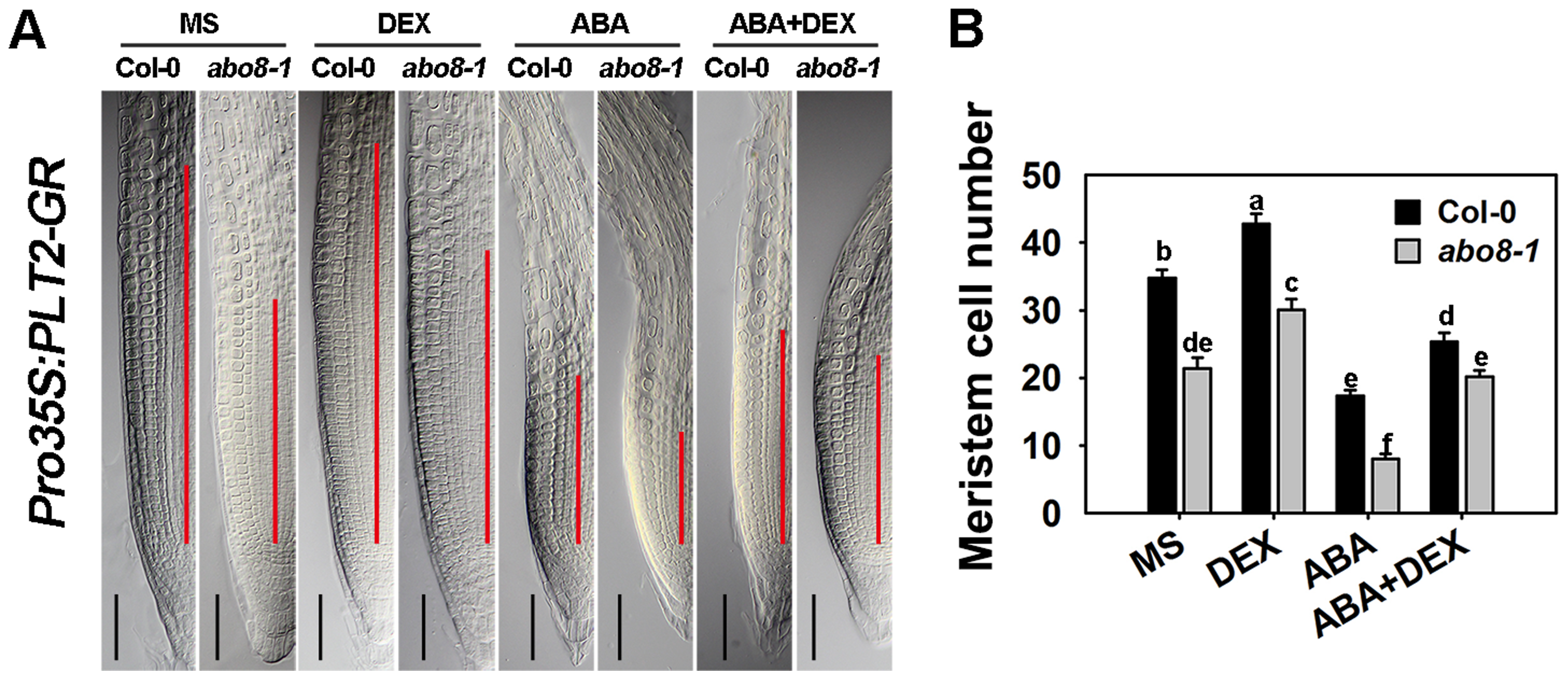 The sensitivity of <i>abo8-1</i> roots to ABA is partially rescued by the expression of the inducible <i>Pro35S:PLT2-GR</i>.