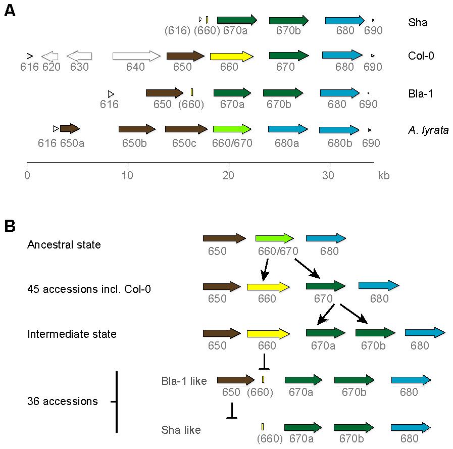 OAK kinase cluster architecture.