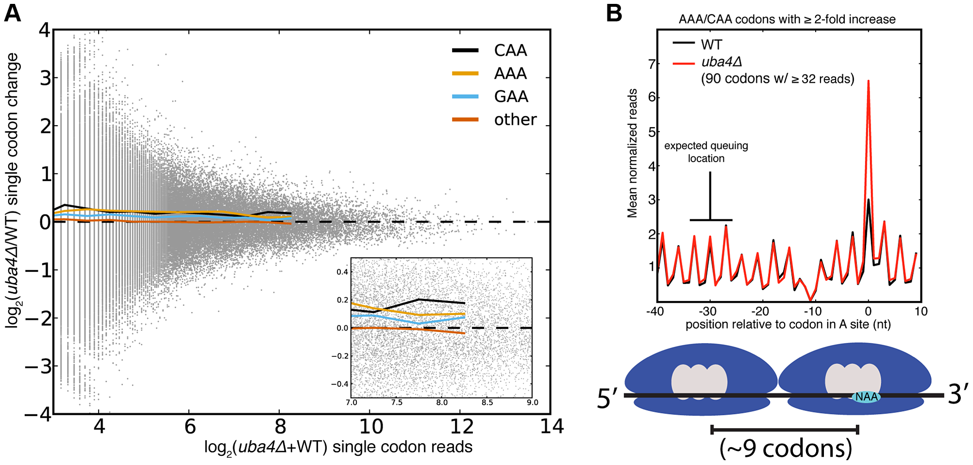 Single codon occupancy changes may be insufficient to affect protein output.