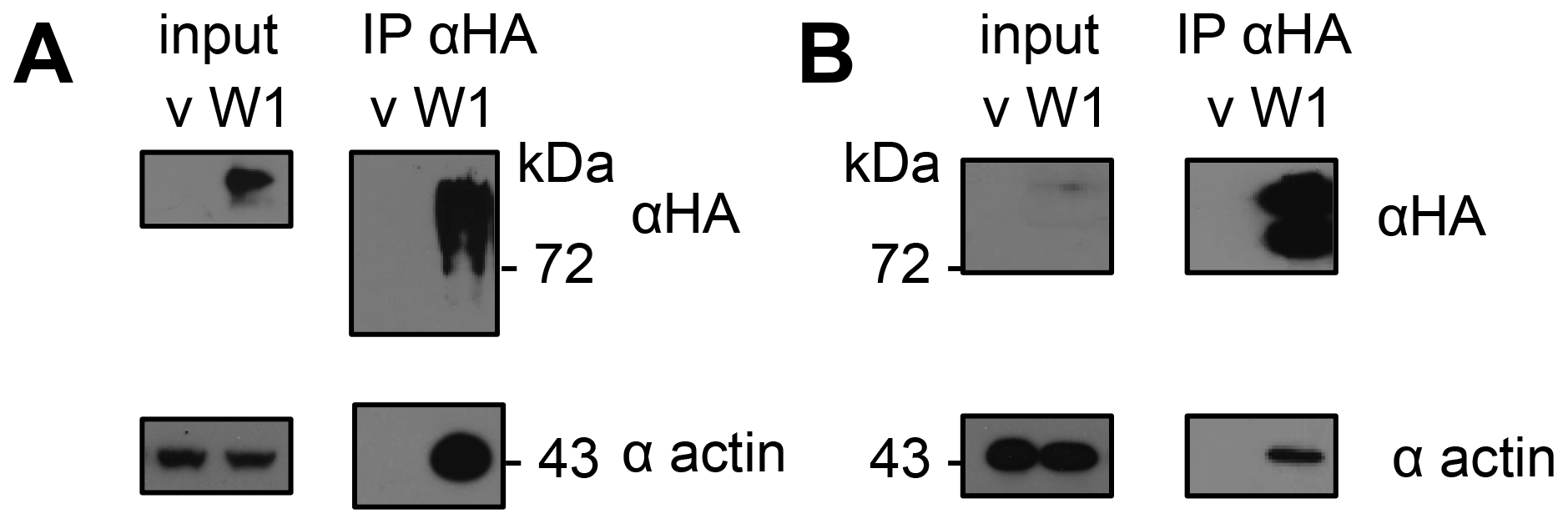 HopW1 forms complexes with actin in plants.