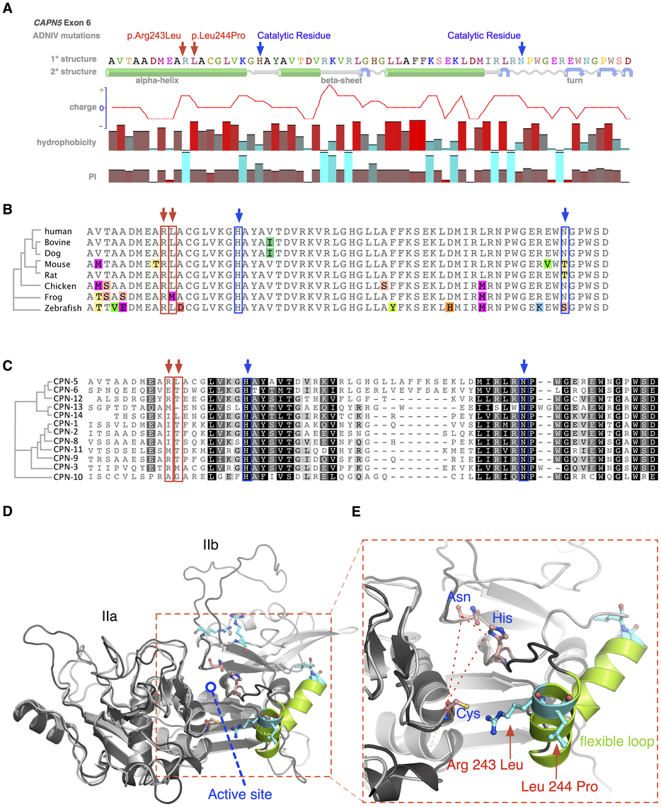 Protein structure modeling of calpain-5 and ADNIV mutants.