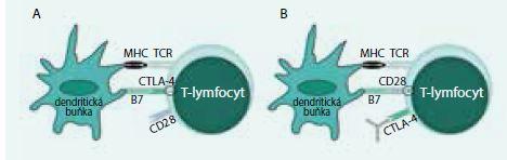Schéma 1. Mechanizmus účinku protilátky proti CTLA4