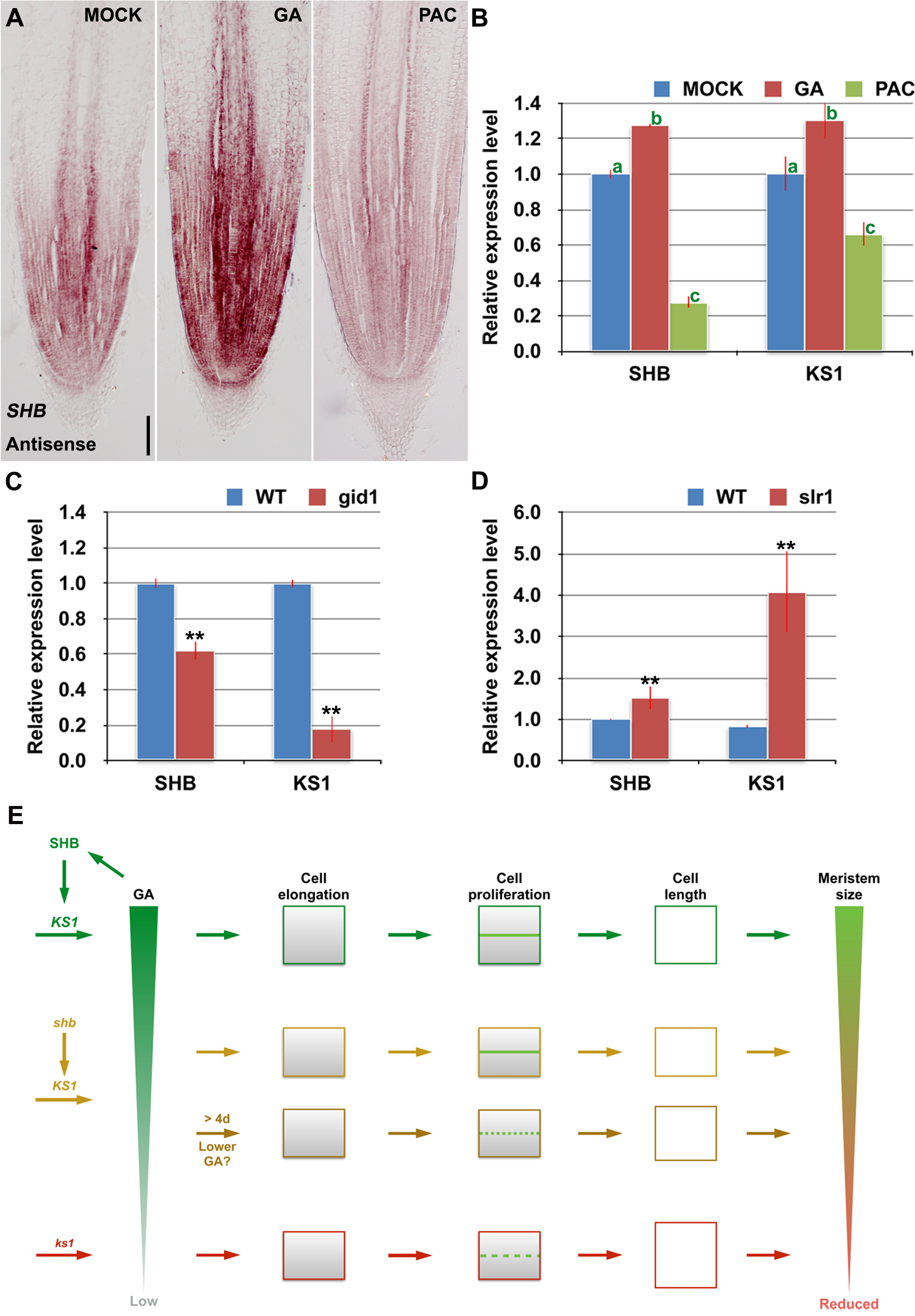 <i>SHB</i> functions a positive regulator of GA signaling and meristem growth.