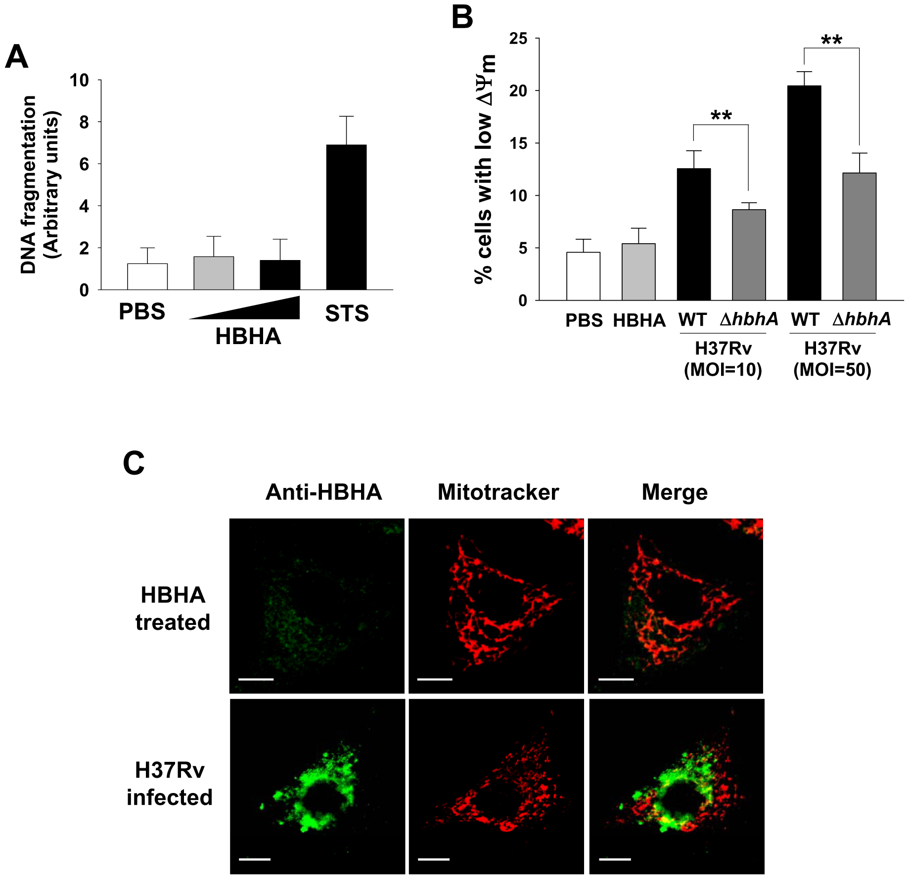 HBHA does not affect the viability of A549 cells.