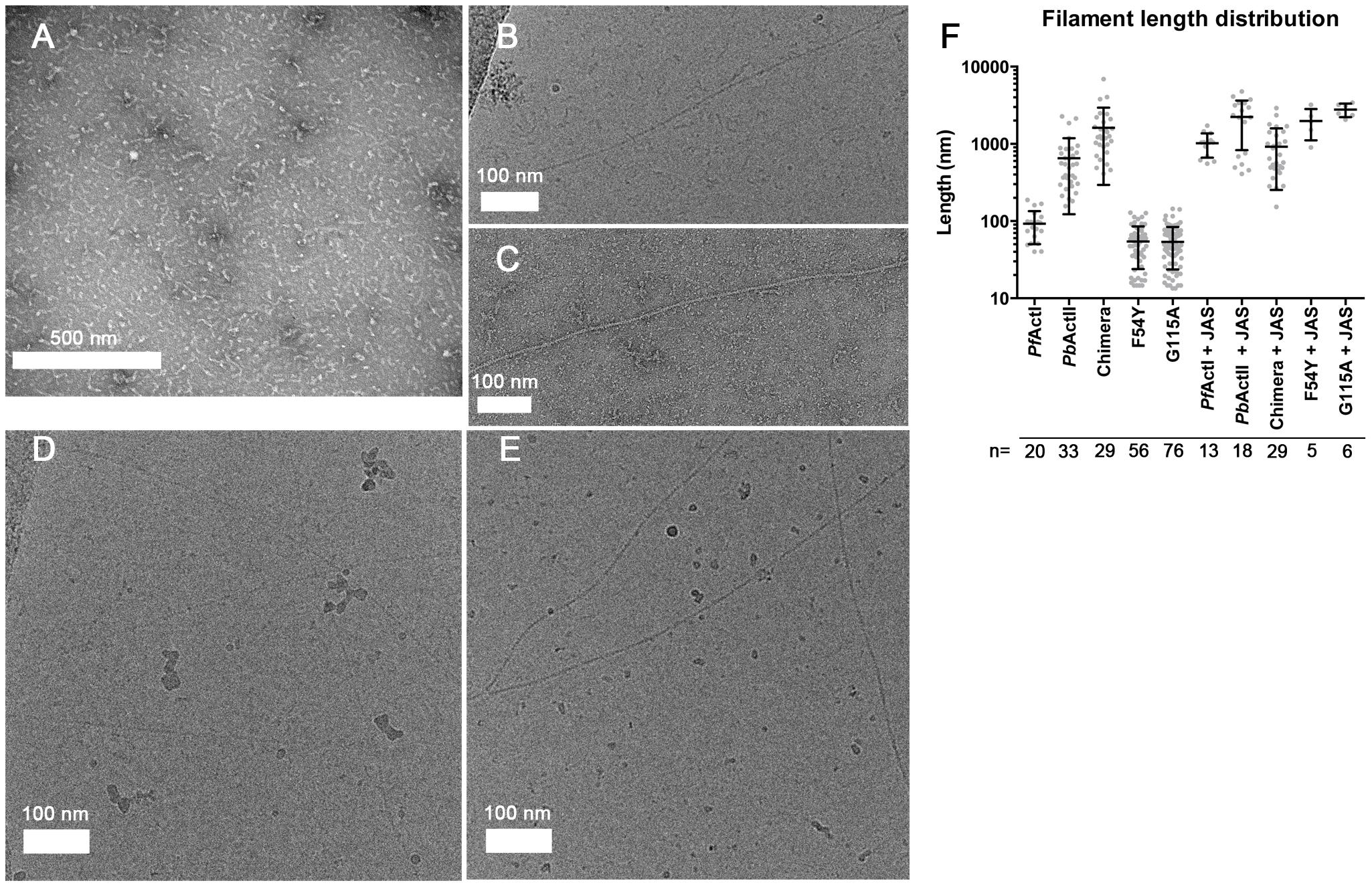 Electron micrographs of <i>Plasmodium</i> actin filaments.