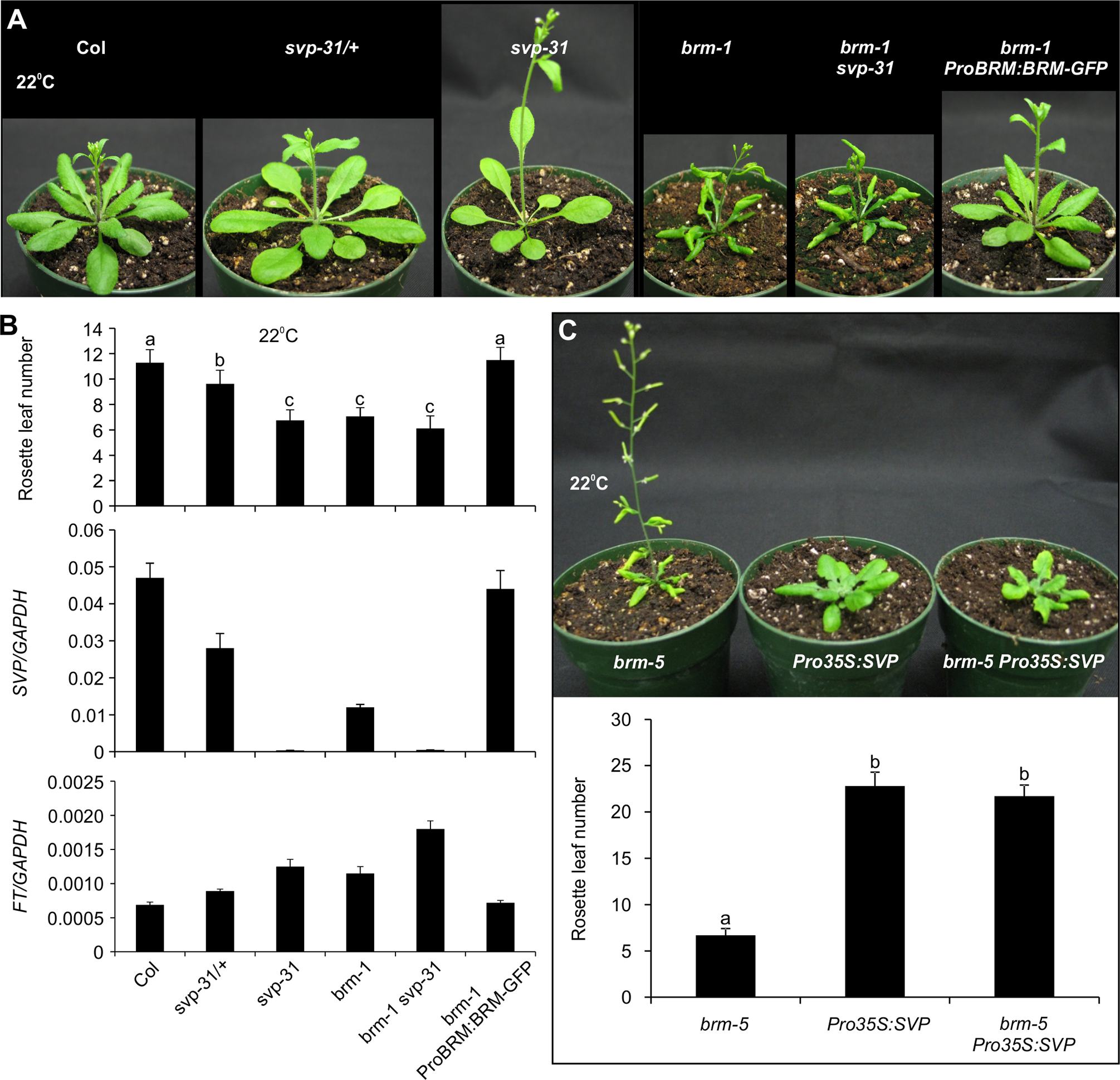 BRM represses flowering mainly through regulating <i>SVP</i> transcription.