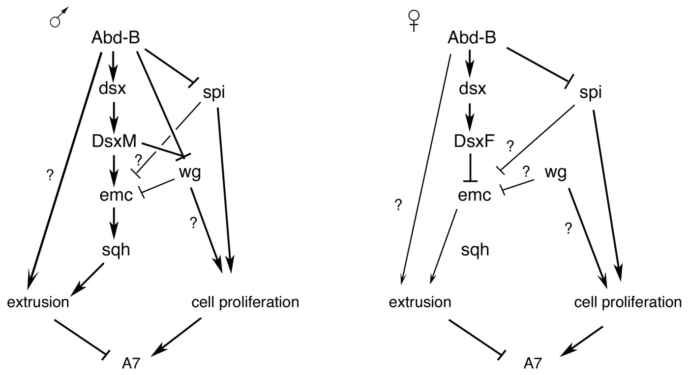 Schemes of genetic regulation in male and female A7.