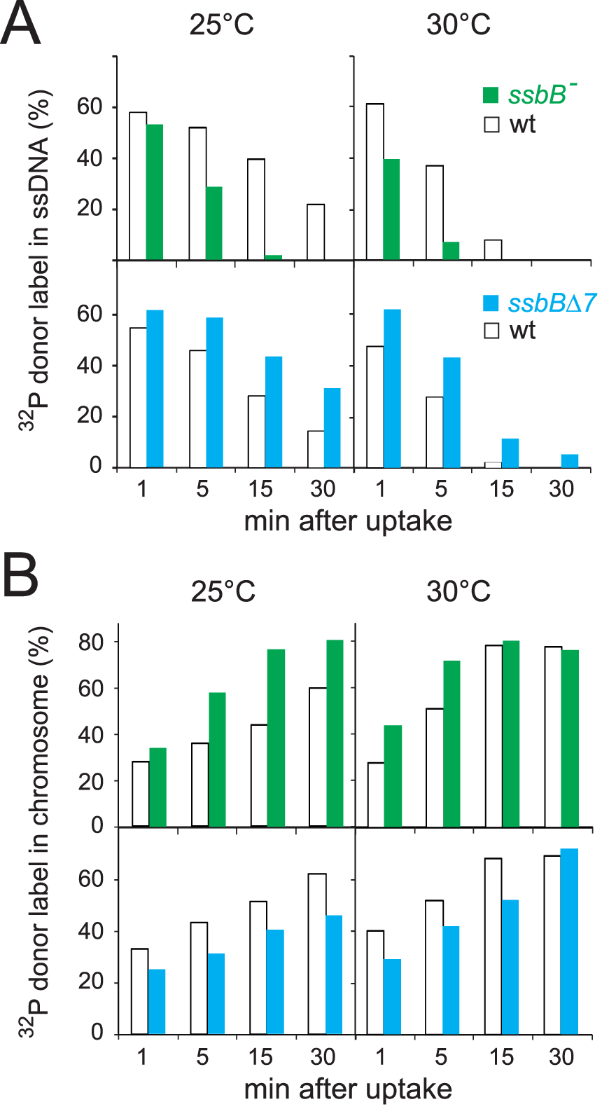 Fate of internalized ssDNA at 25°C and 30°C in wildtype and <i>ssbB</i> mutant cells.