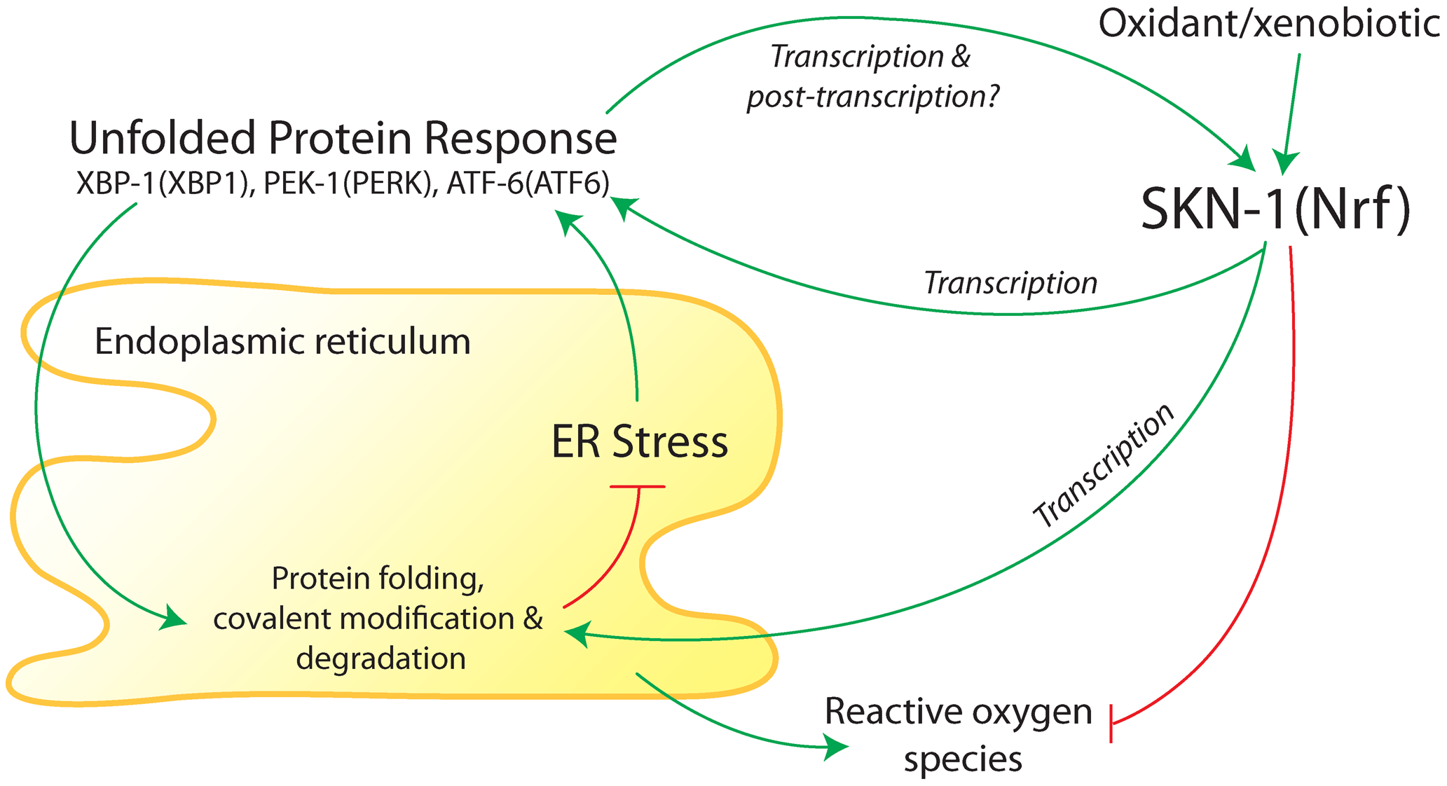 Summary of interactions between the endoplasmic reticulum (ER) unfolded protein response (UPR) and antioxidant/detoxification transcription factor SKN-1 in <i>C. elegans</i>.