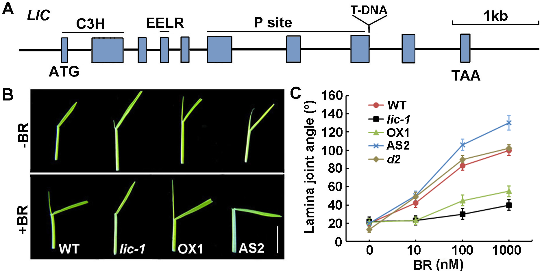 LIC negatively regulates BR signaling.