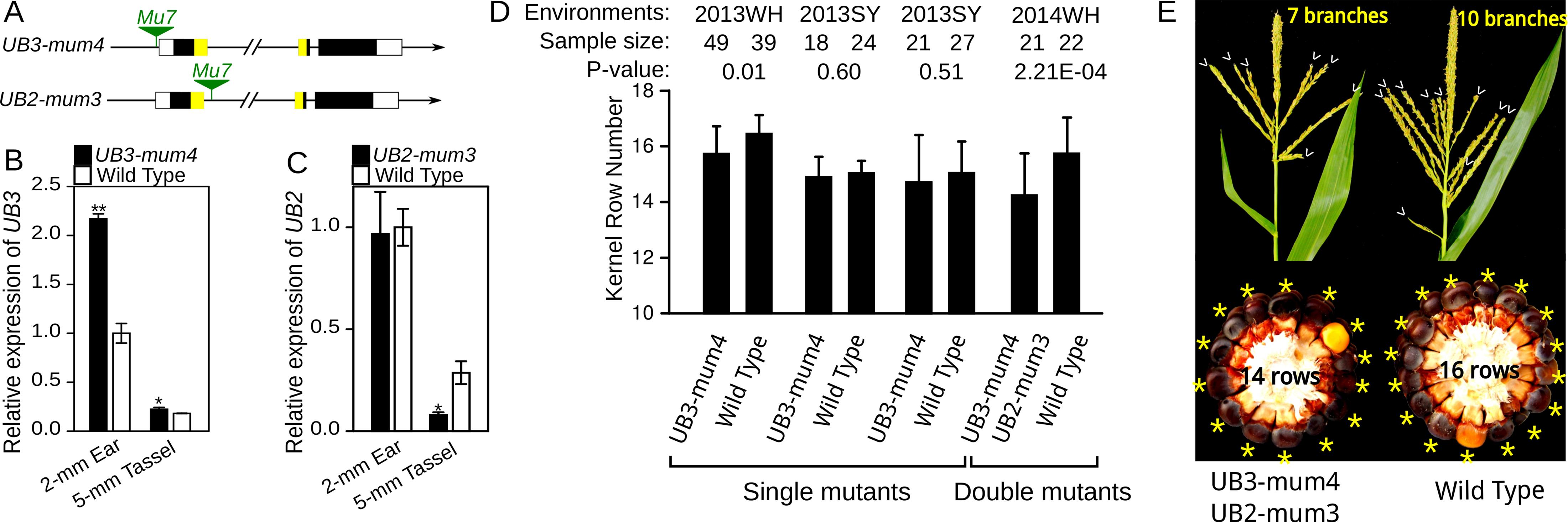 Expression analysis and phenotypic characterization of <i>UB3-mum4</i> and <i>UB2-mum3</i> mutants.