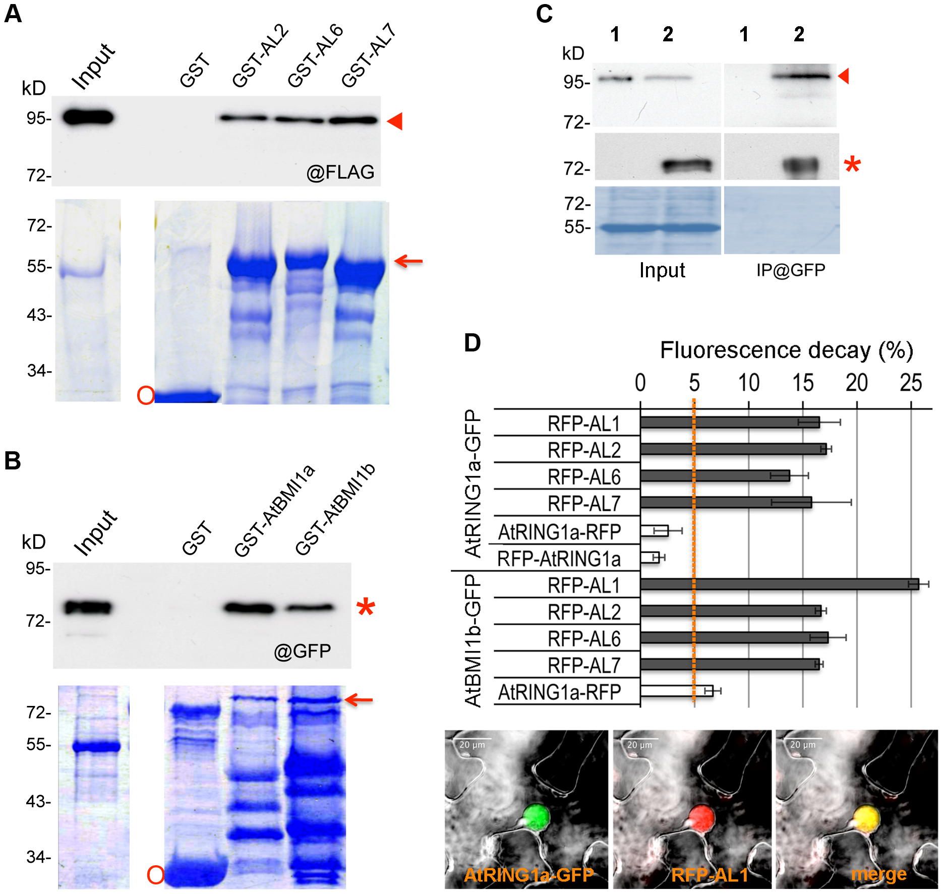 ALs physically interact with PRC1 ring-finger proteins in both <i>in vitro</i> and <i>in vivo</i> assays.