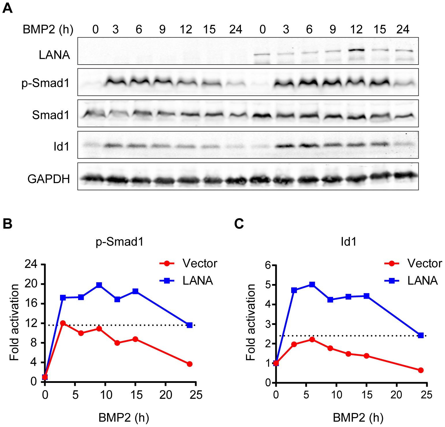 LANA sustained BMP-induced p-Smad1 and up-regulated Id1 expression.